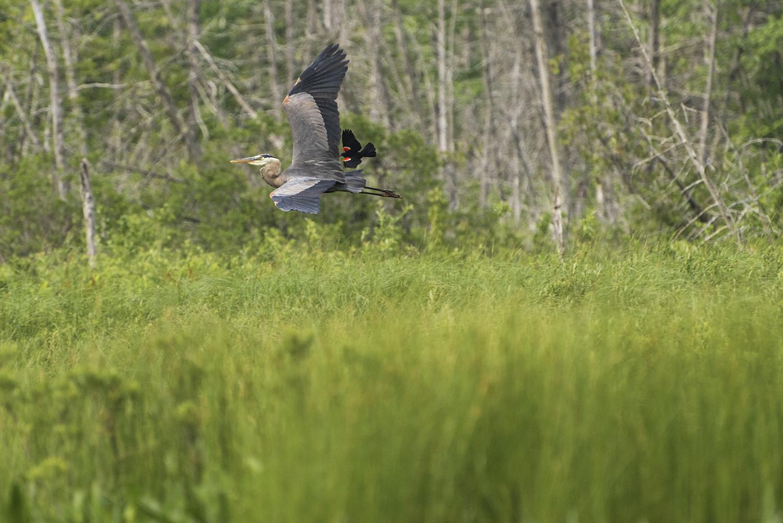 flying heron vermont