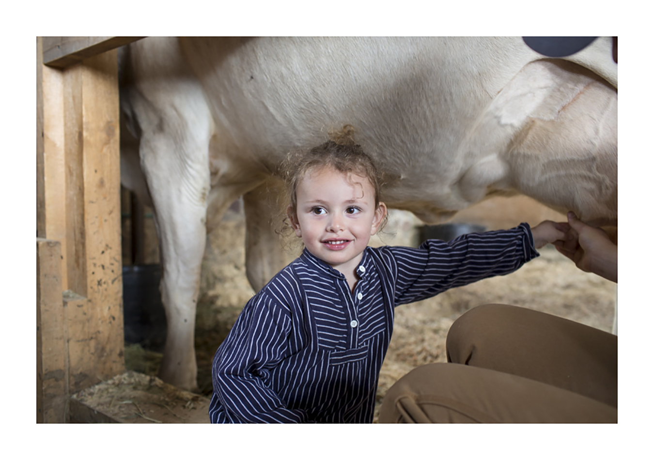 Cow milking at Shelburne Farms. Pic. by Dylan Griffin