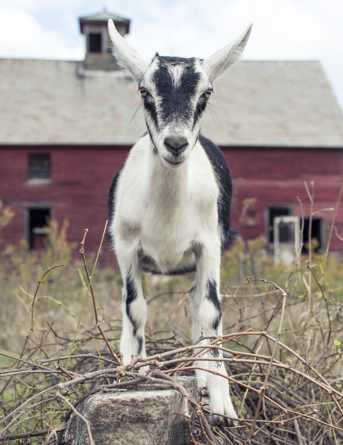 Veda the goat, at Ice House Farm.