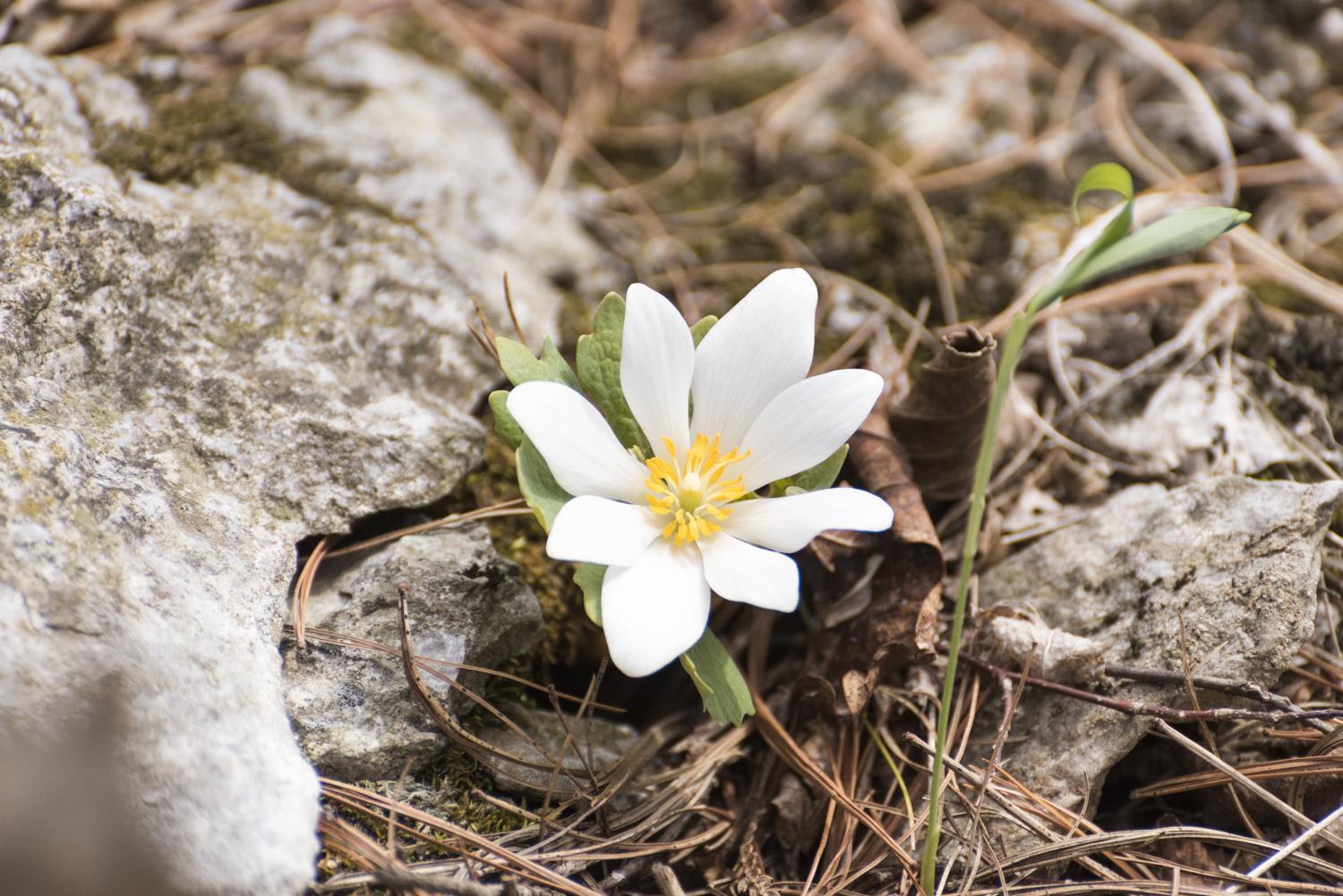 Bloodroot wildflower. Photo by Nathanael Asaro