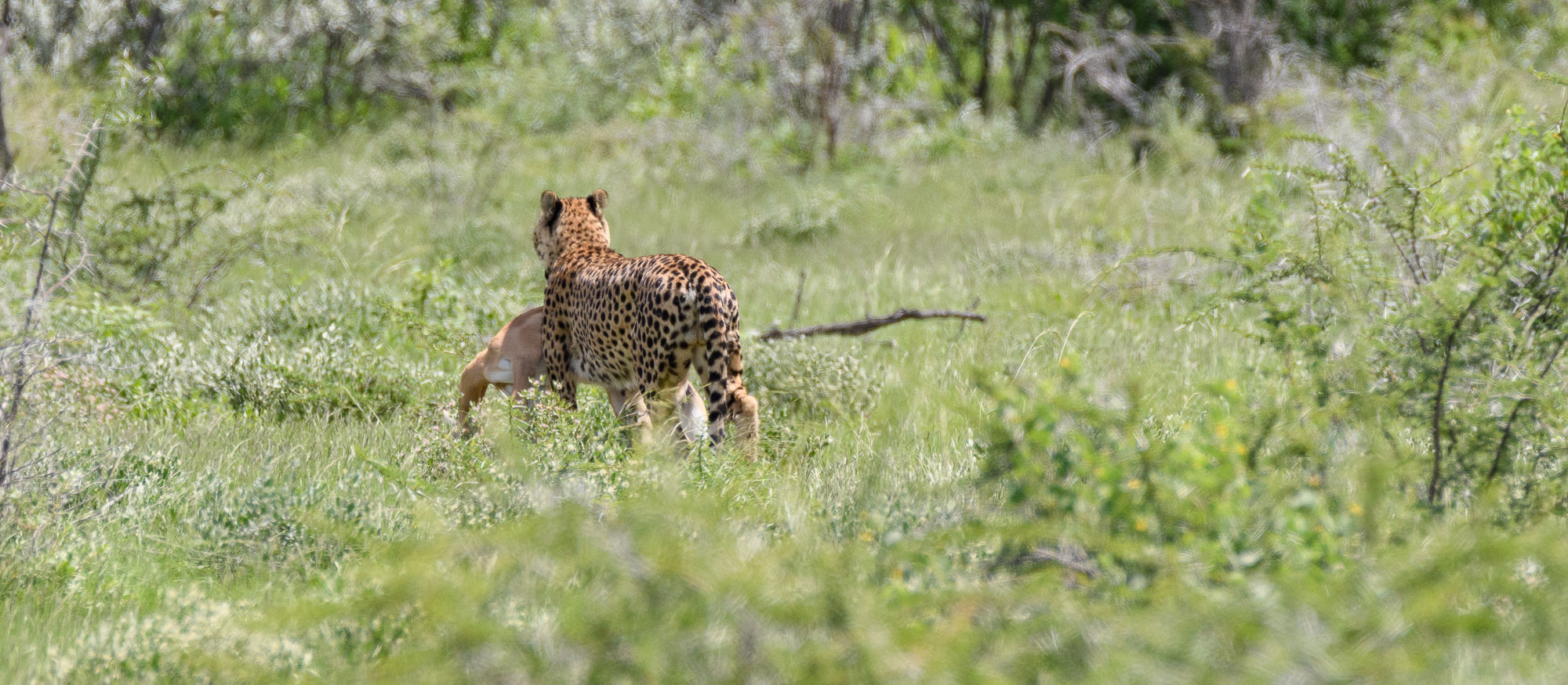 After a few minutes the cheetah carried it's prize into deep cover where no doubt it would eat and rest, hopefully without the attention of other predators.