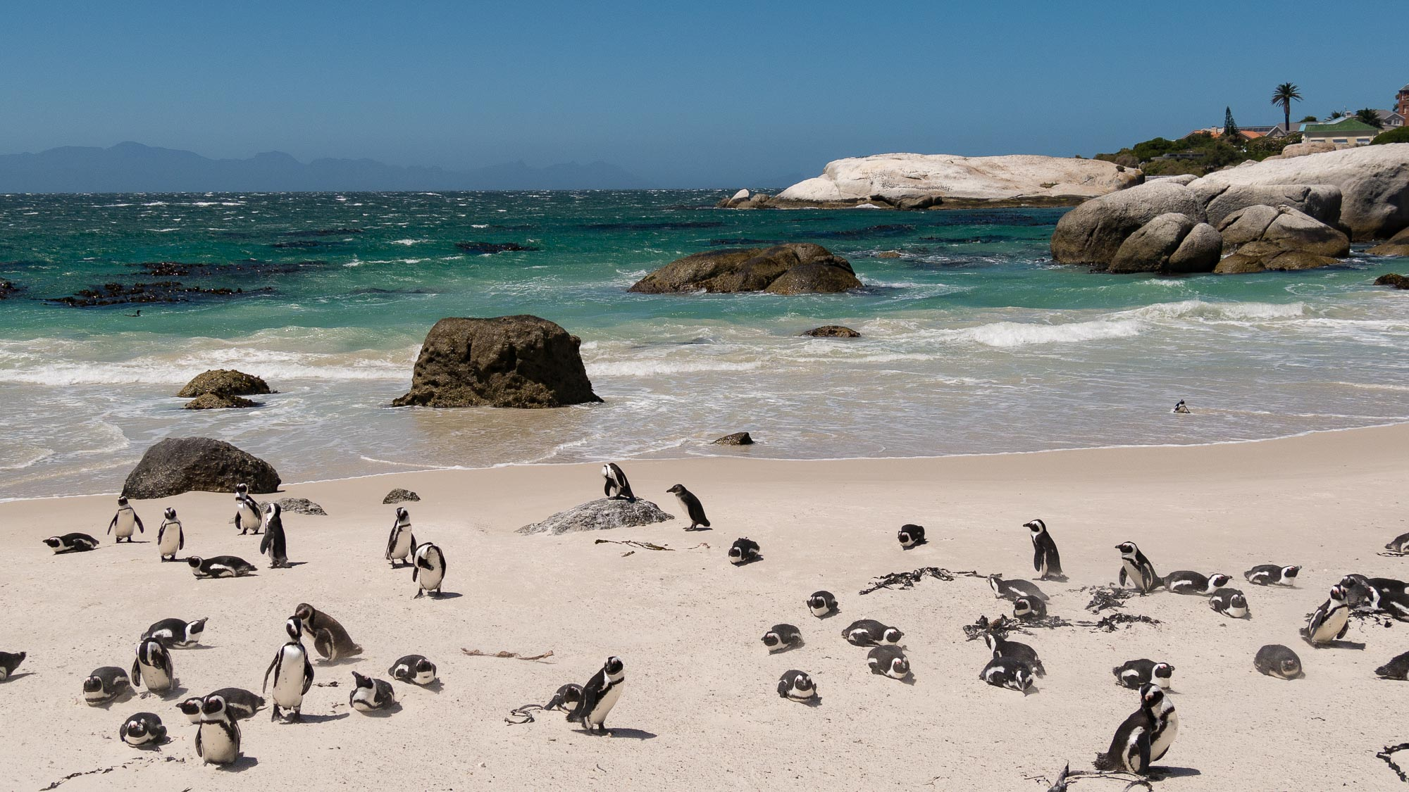 African penguins from the wider end (19mm)