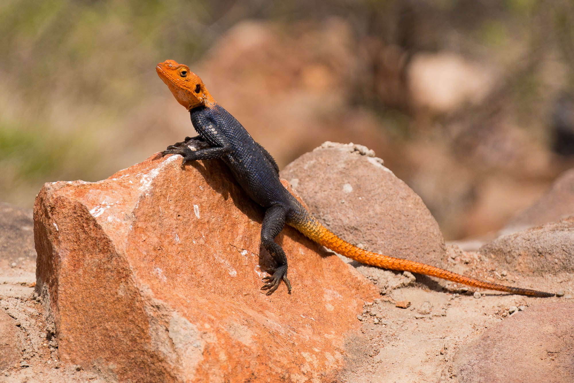 I caught this lizard sunning himself on the rocks around the edge of the pool (84mm)