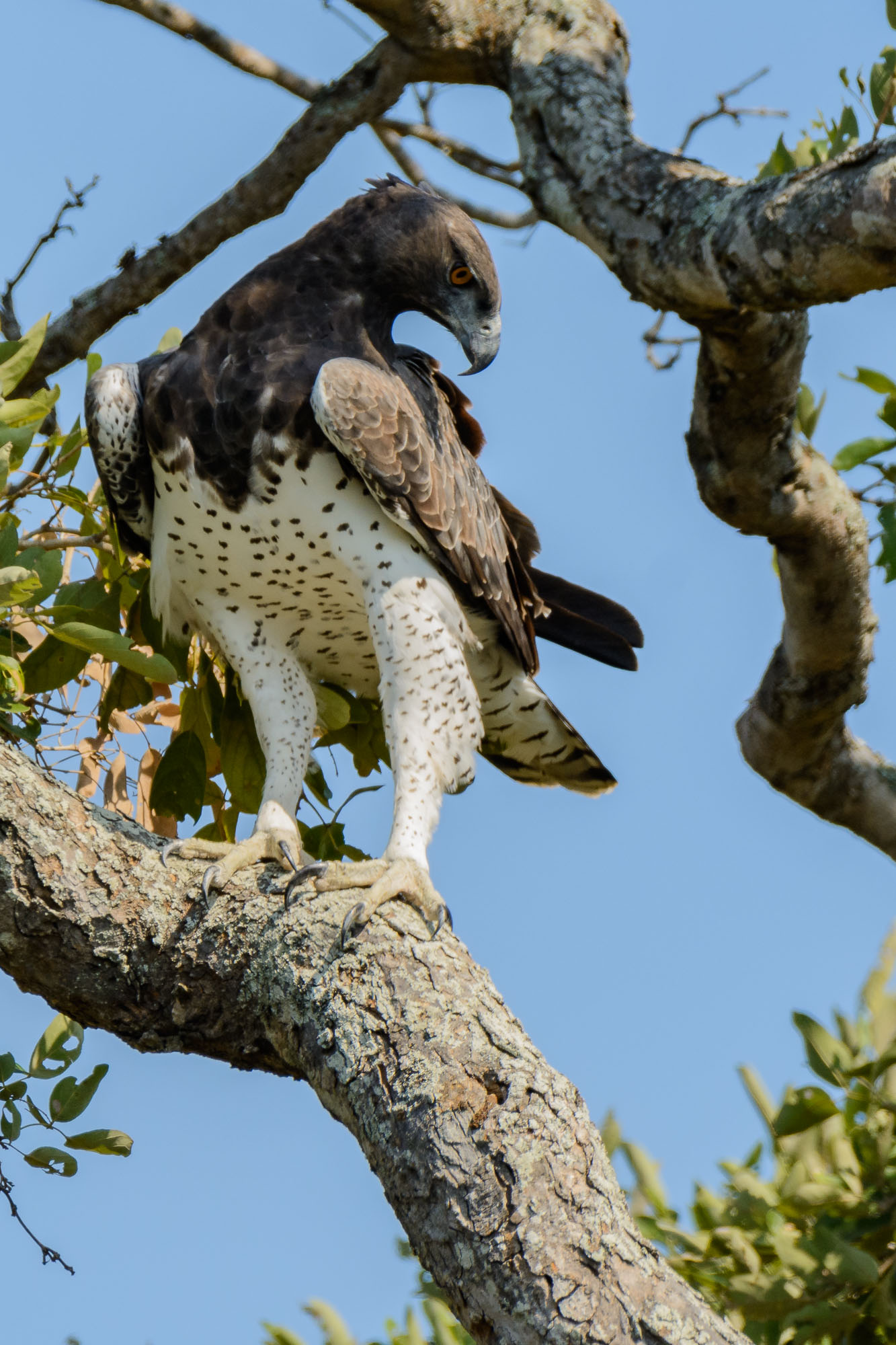 Majestic Martial Eagle