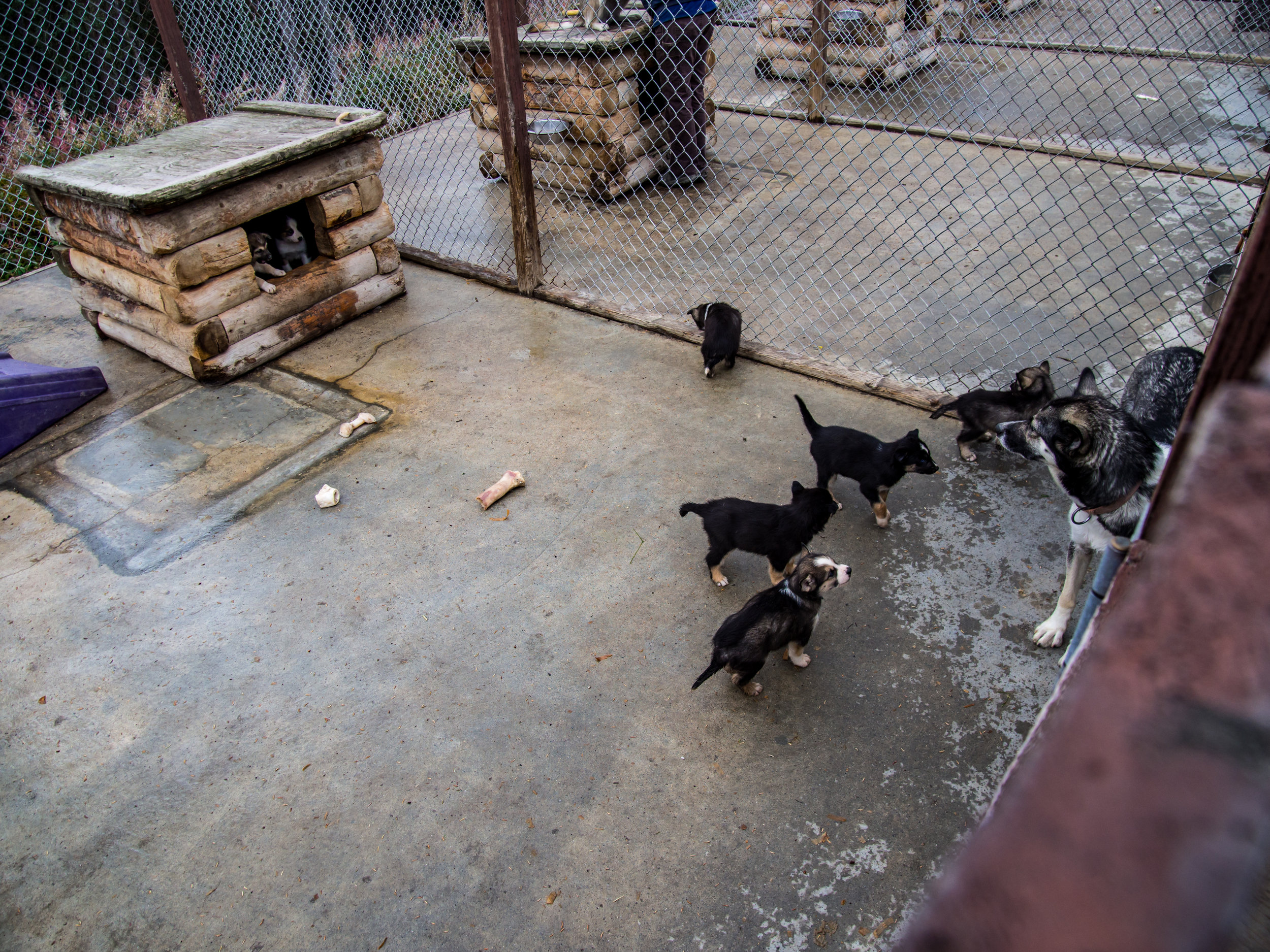 This year's litter of sled dog puppies.
