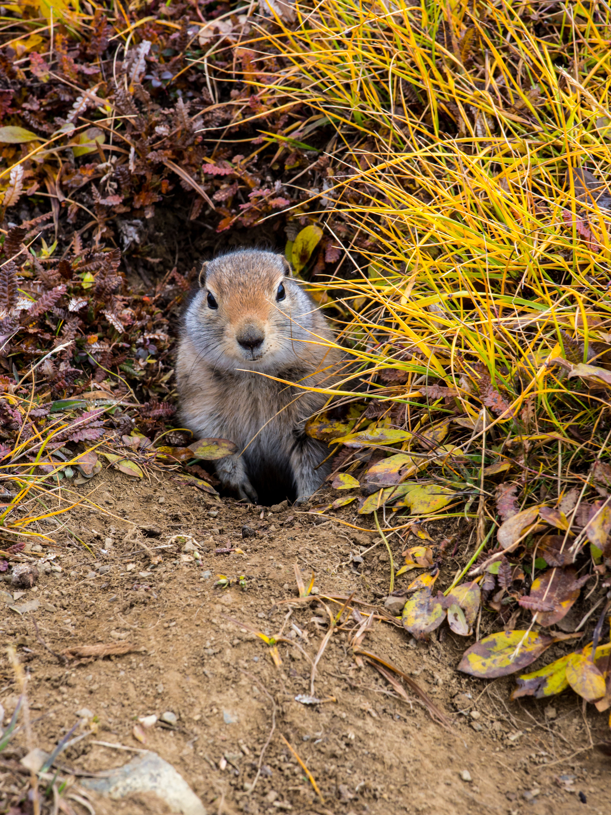 An arctic ground squirrel pops its head out of its hole.