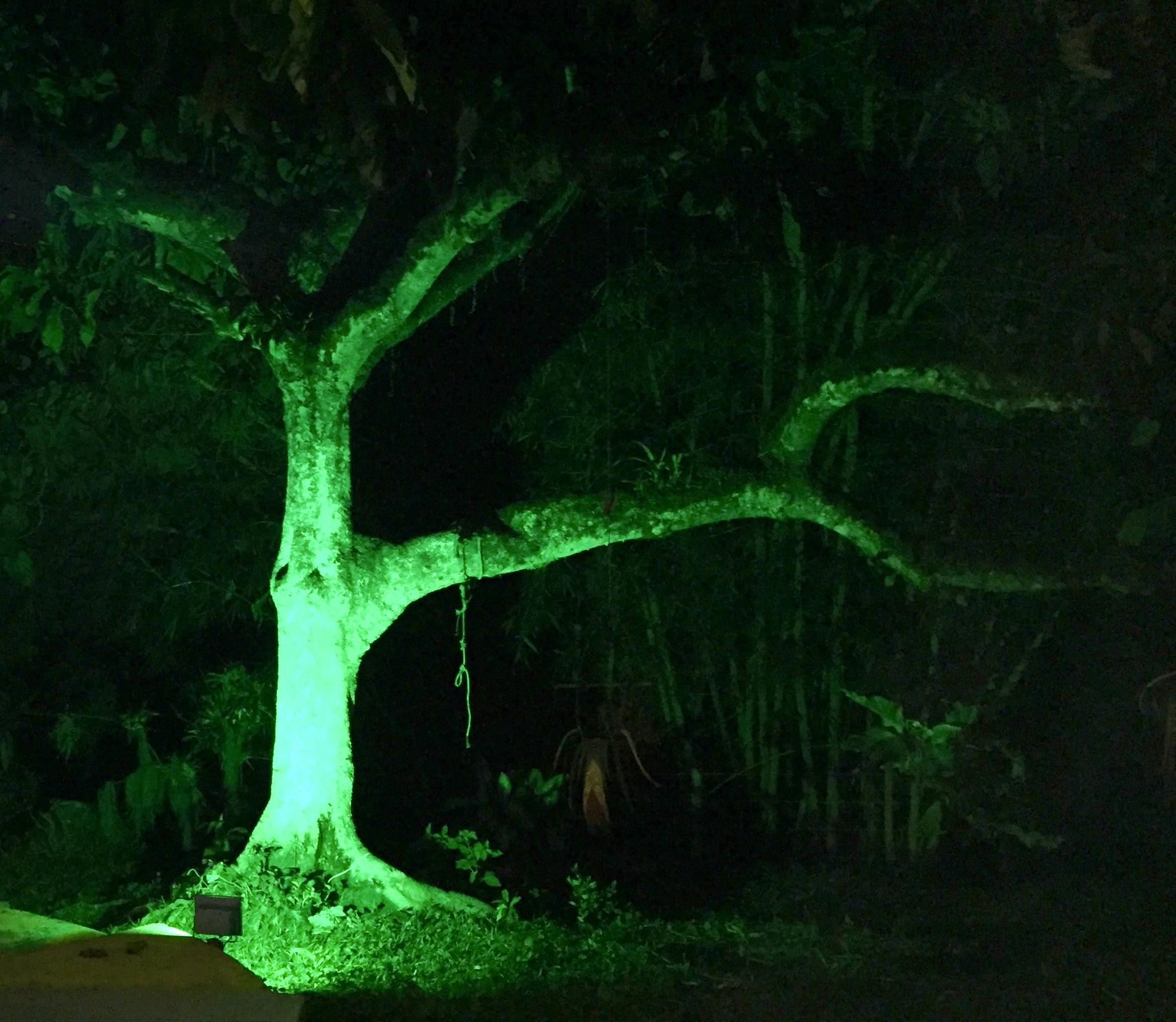 The hammock tree after dark looks surreal illuminated by a green spotlight.