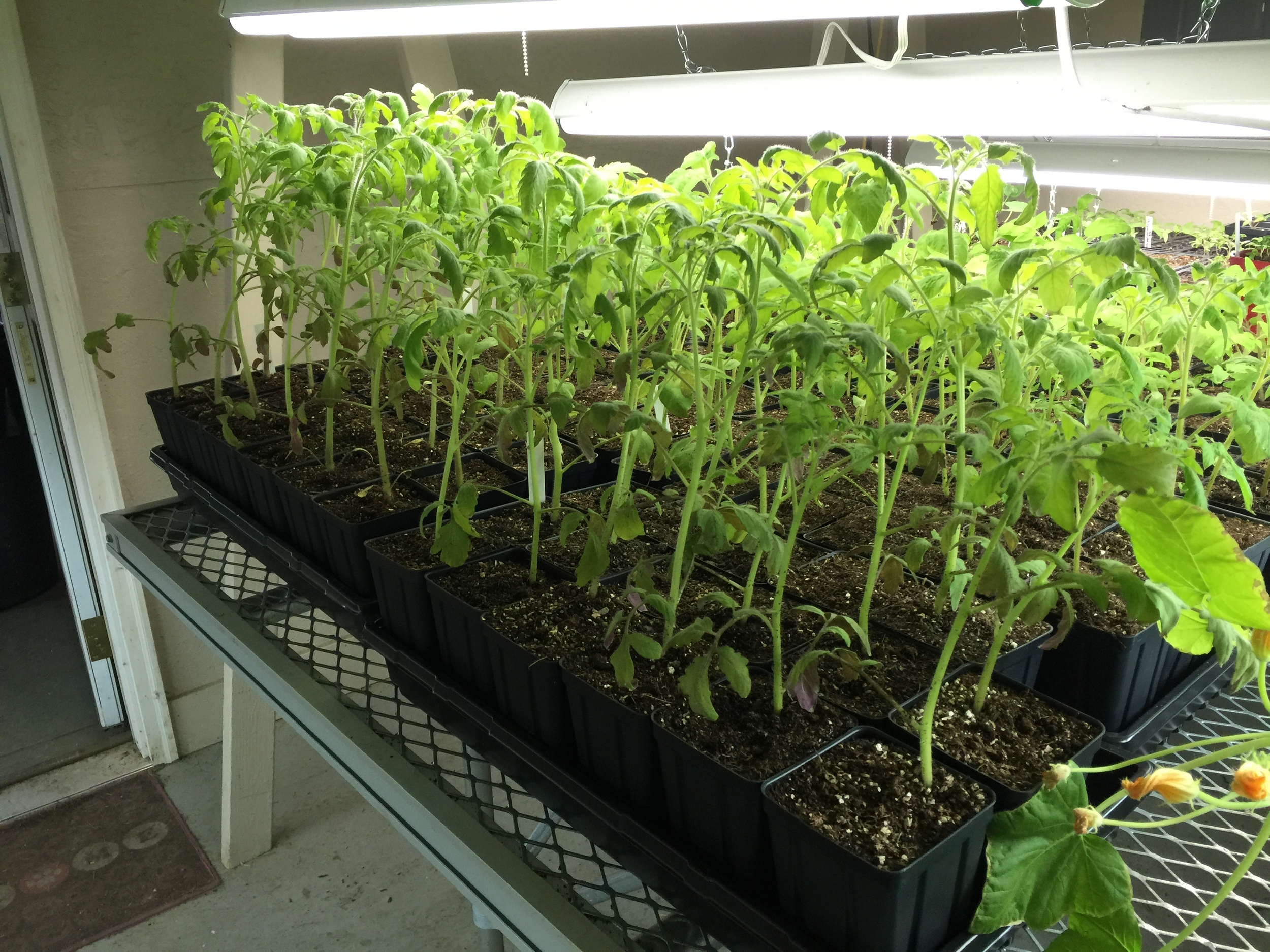 tomato plant seedlings.jpg