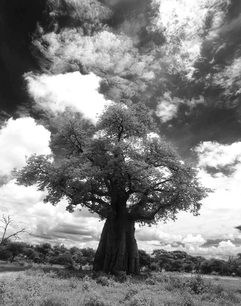 Botswana_04_7 , 2004-2015, Black and white infrared (from medium format film) archival pigment print, 35 x 29 inches