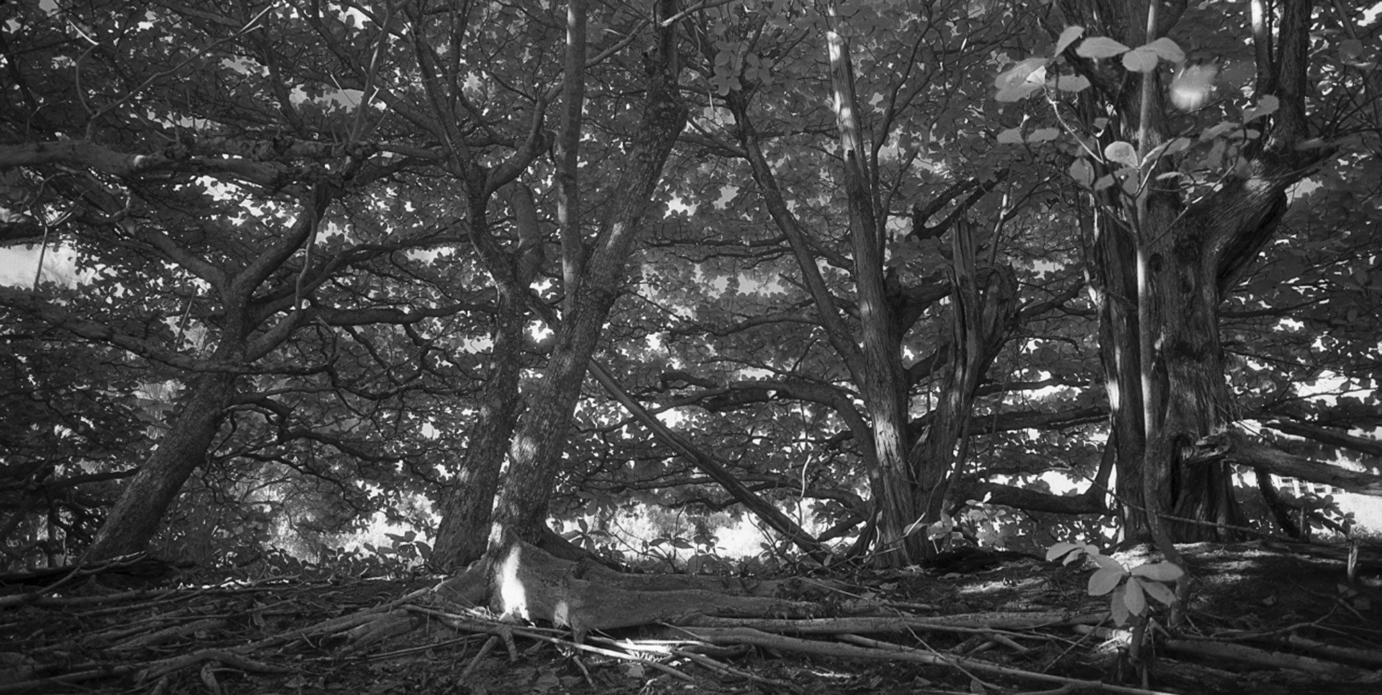 Kauai_11_12_4 , 2012-15, Black and white infrared (from medium format film) archival pigment print, 31.5 x 55 inches