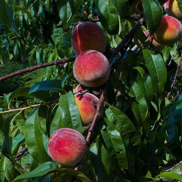 """Can you preserve peaches without sugar? I like a vintage canning recipe as much as the next #BallJar obsessed #Homesteader, and have had it drilled into to me that you """"can."""" not. alter. recipes. Or risk screwing up the pH enough to get fun things like botulism in there. But...why is every #PeachButter, #PeachPreserves, #PeachJelly, and #PeachPieFilling so over-laden with sugar that you can barely taste the dang #Peach anymore?  There's little better than the sunny sweetness of a just-picked, golden orb of deliciousness. And for the most part, I've recently made a conscious decision NOT to stress myself out over """"preserving the season"""" every year. Instead of worrying about not having a particular thing year round, my new M.O. is to eat the absolute shit out of whatever is currently in season, and then enjoy the anticipation til next year.  But what do you do when you have an enormous peach tree about to ripen, following your earlier peach tree (that you already ate the shit out of), and even your kids are starting to run the other direction when they see you coming with MORE orbs of deliciousness? Call your friends, of course. But further more, we've already filled up part of our chest freezer with peach halves and (sugary) peach butter, and I do like the visual satisfaction a non-freezer-reliant #BallJar army to crack into come February, when all I've eaten for months is roots.  """"Sugar-free"""" peach canning recipes are abundant on the internet, but that usually translates to the use of honey or maple syrup or some weird artificial sweetener instead. Peaches have a pH of 3.3-4, which is below the 4.6 cutoff for preservation. So it turns out the primary reason for adding sugar to canned fruit is to """"help maintain color and shelf life."""" I've had a #PressureCanner sitting in my closet for a few years now, so maybe this is the year I'll break it out. Will it be easier / less messy than the steamy pot of hot water bath canning?  Who here has had success with a completely #"""