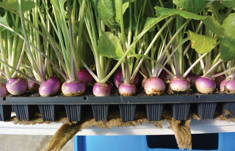 Root Crops And Plug Trays: A Perfect Match