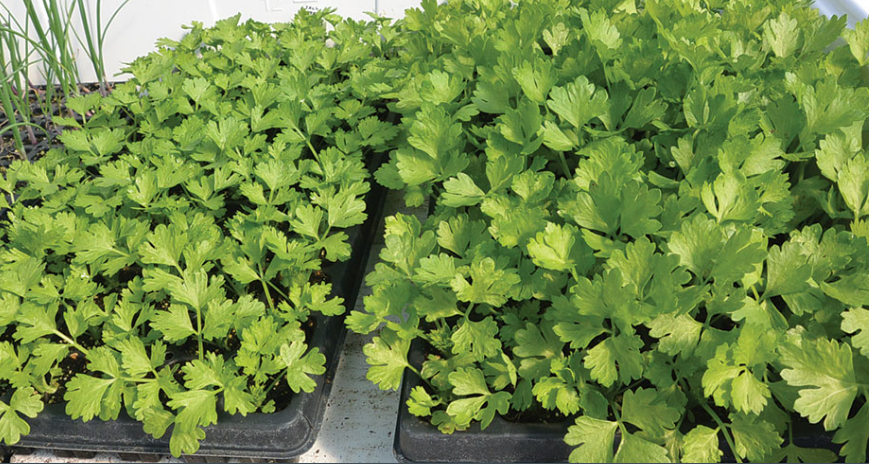 Feasibility Of Hydroponic Celery Production
