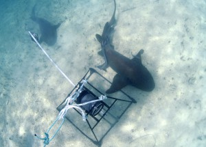 17CEI-Shark-Projects©Thomas-P.-Peschak-SOSF-300x215.jpg