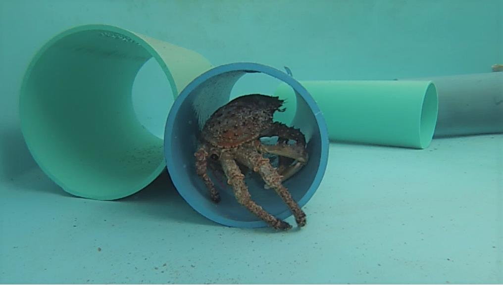 This spider crab has made itself at home in a piece of PVC tubing in one of our wet lab tanks. We put these tubes in the tanks to provide the crabs with a habitat similar to the ledges and holes they would shelter under on the reefs.