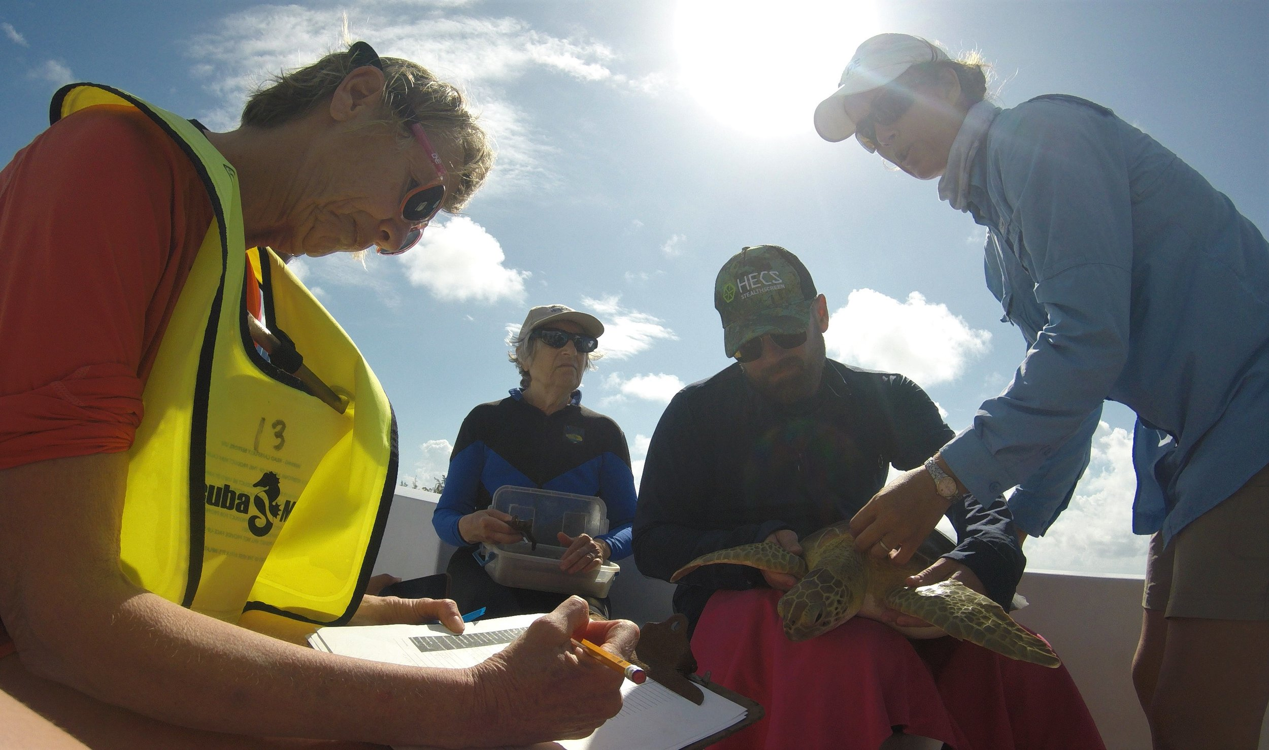 Earthwatch volunteers record biological measurements of a sea turtle they caught from a boat using the 'rodeo' technique.
