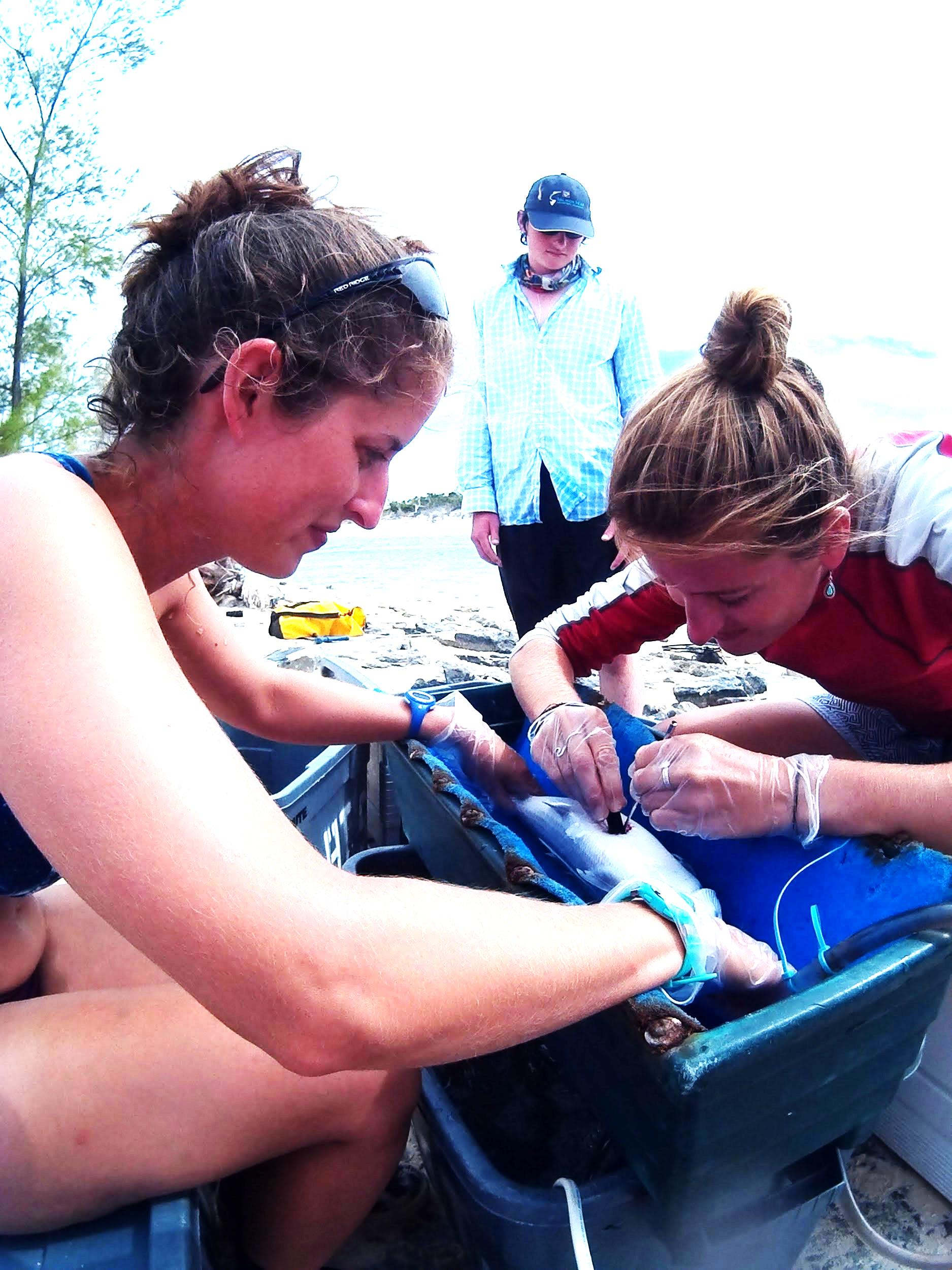 Berti Warren watches as Sarah King assists with implanting a tag into a bonefish.