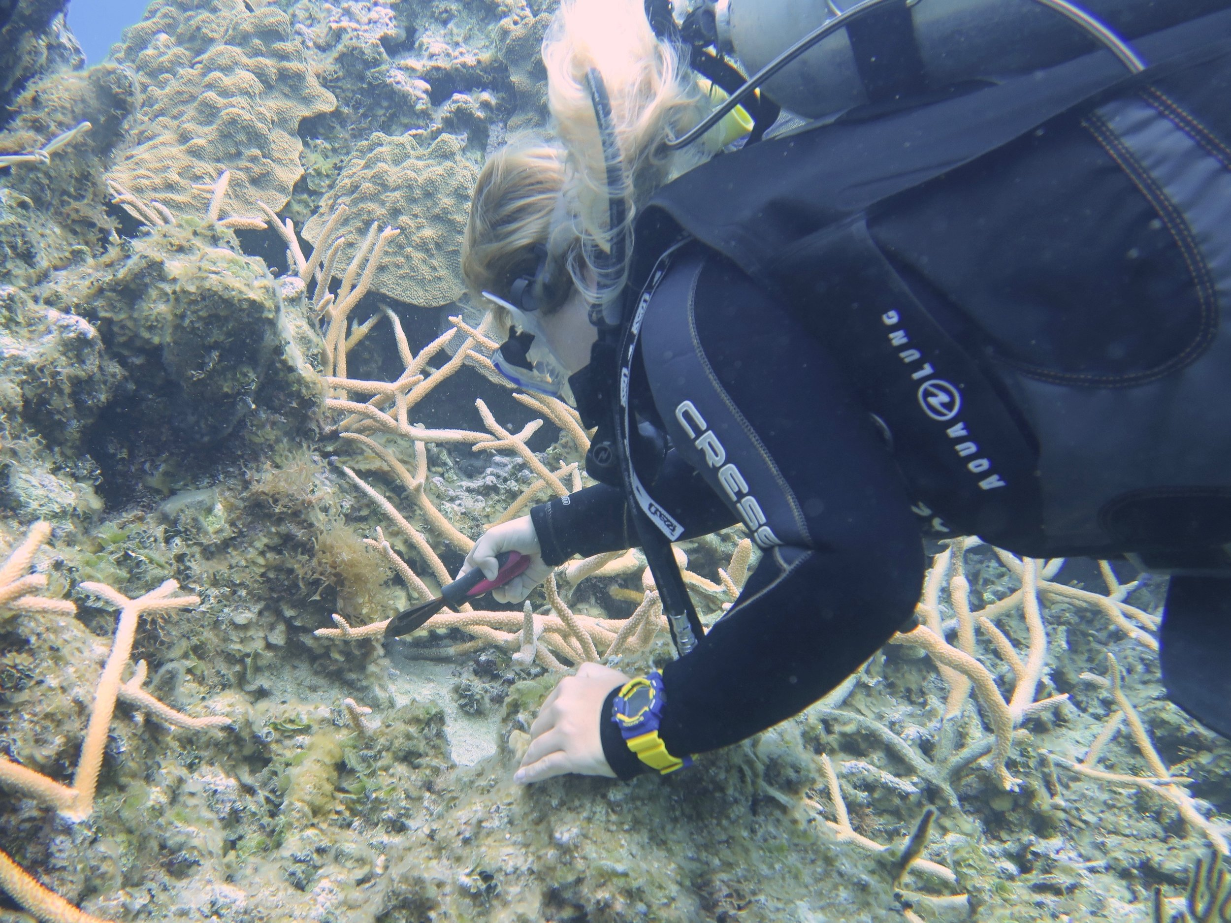 Jodie Ball, research technician, collects staghorn fragments from Bamboo reef.