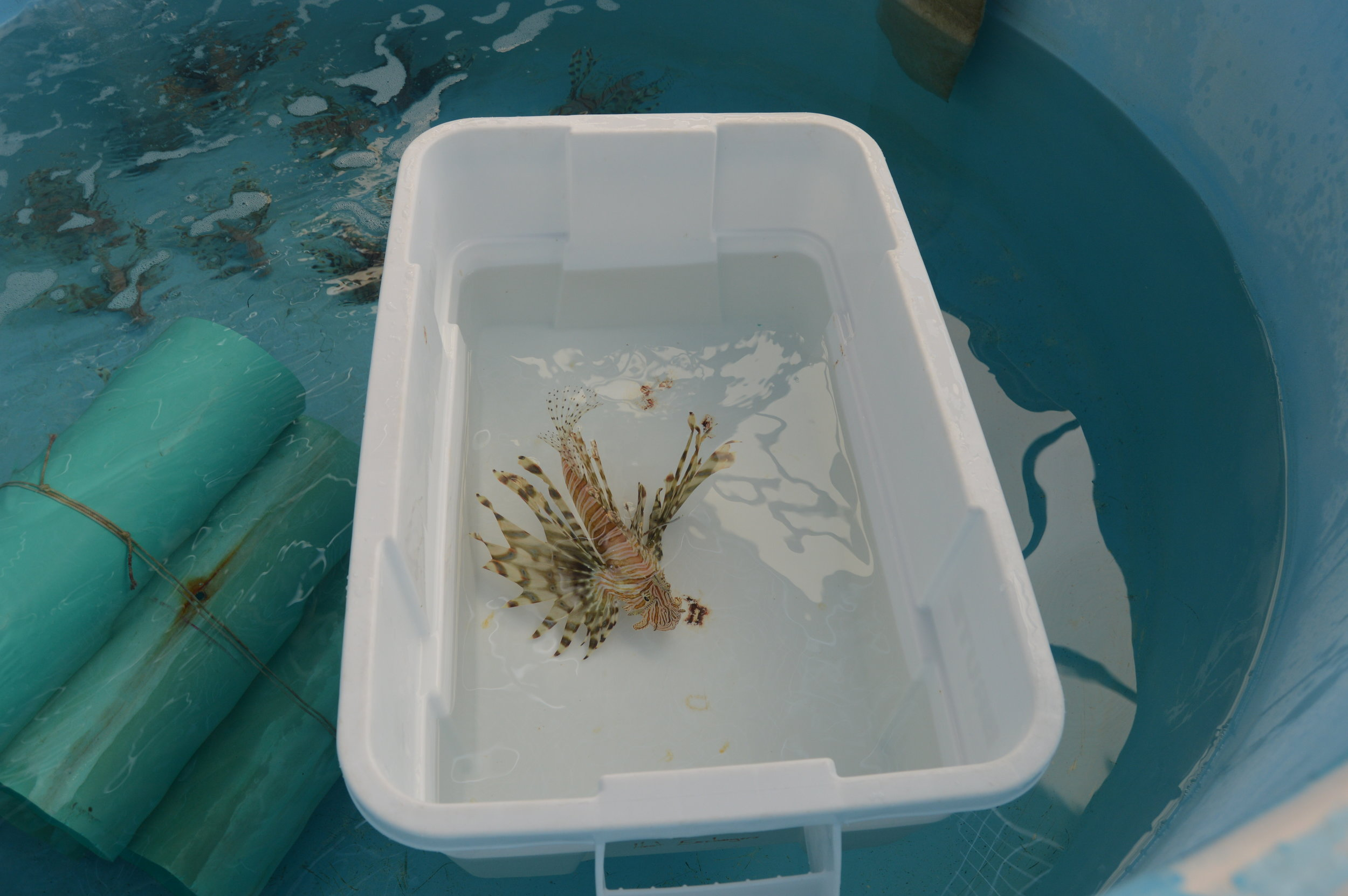 A captive lionfish is isolated in a white tote to ensure it is fed the correct amount of fish.