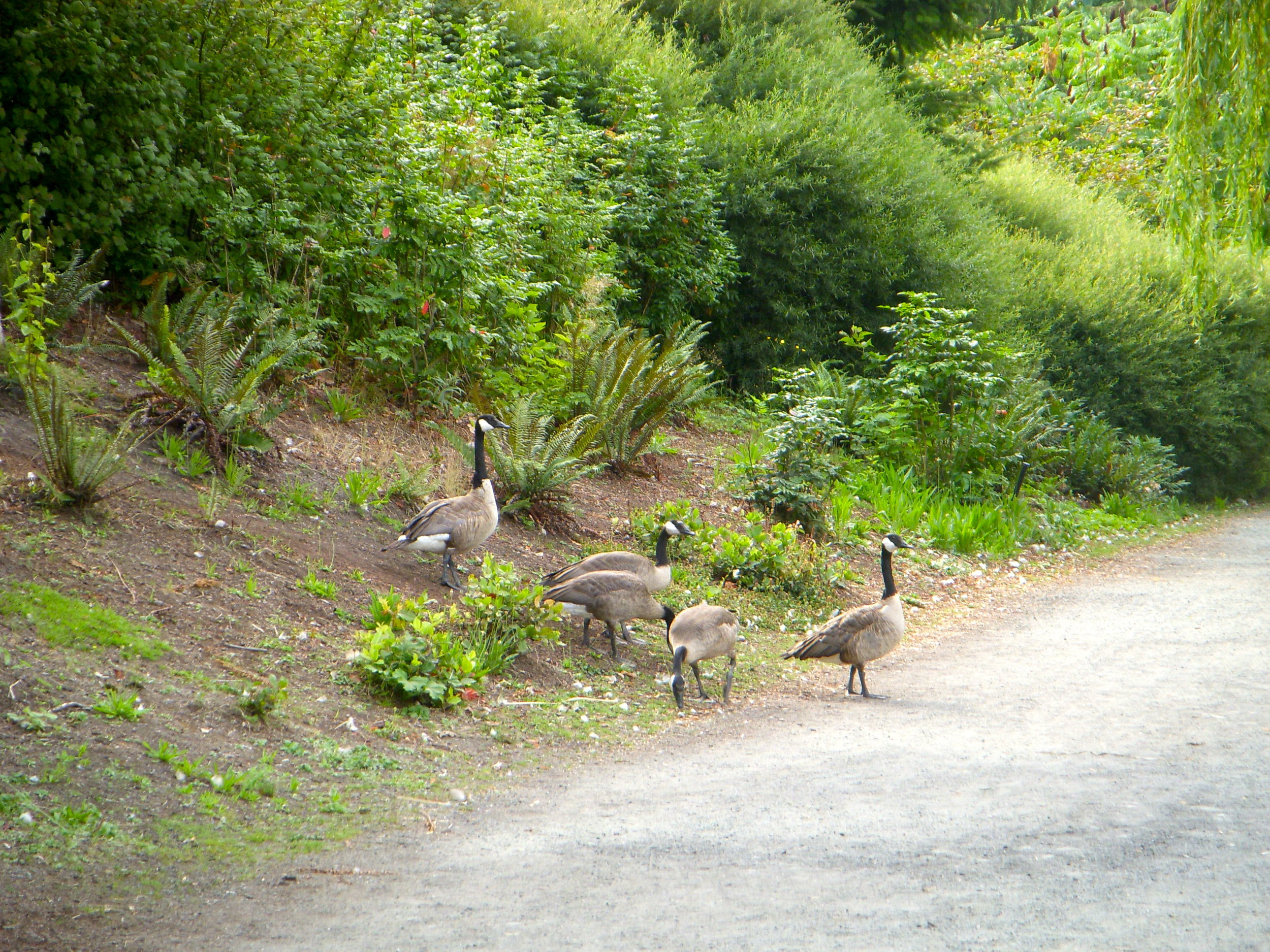 Actual Canadian geese.