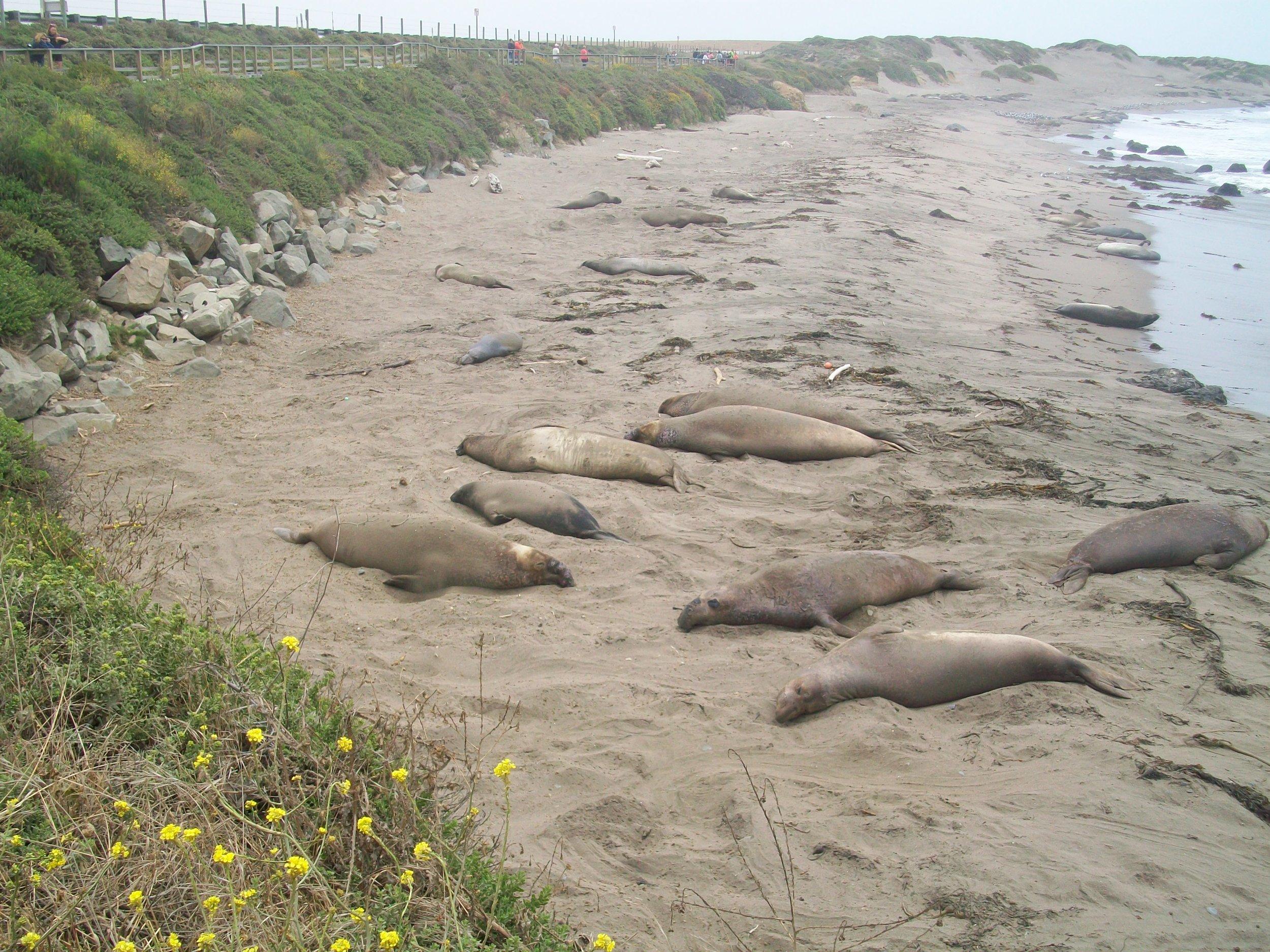 Elephant seals at peace