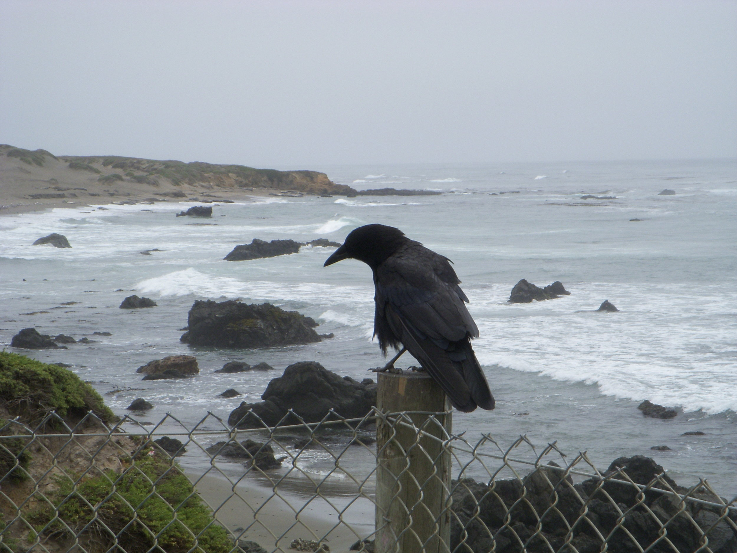 Crow at peace