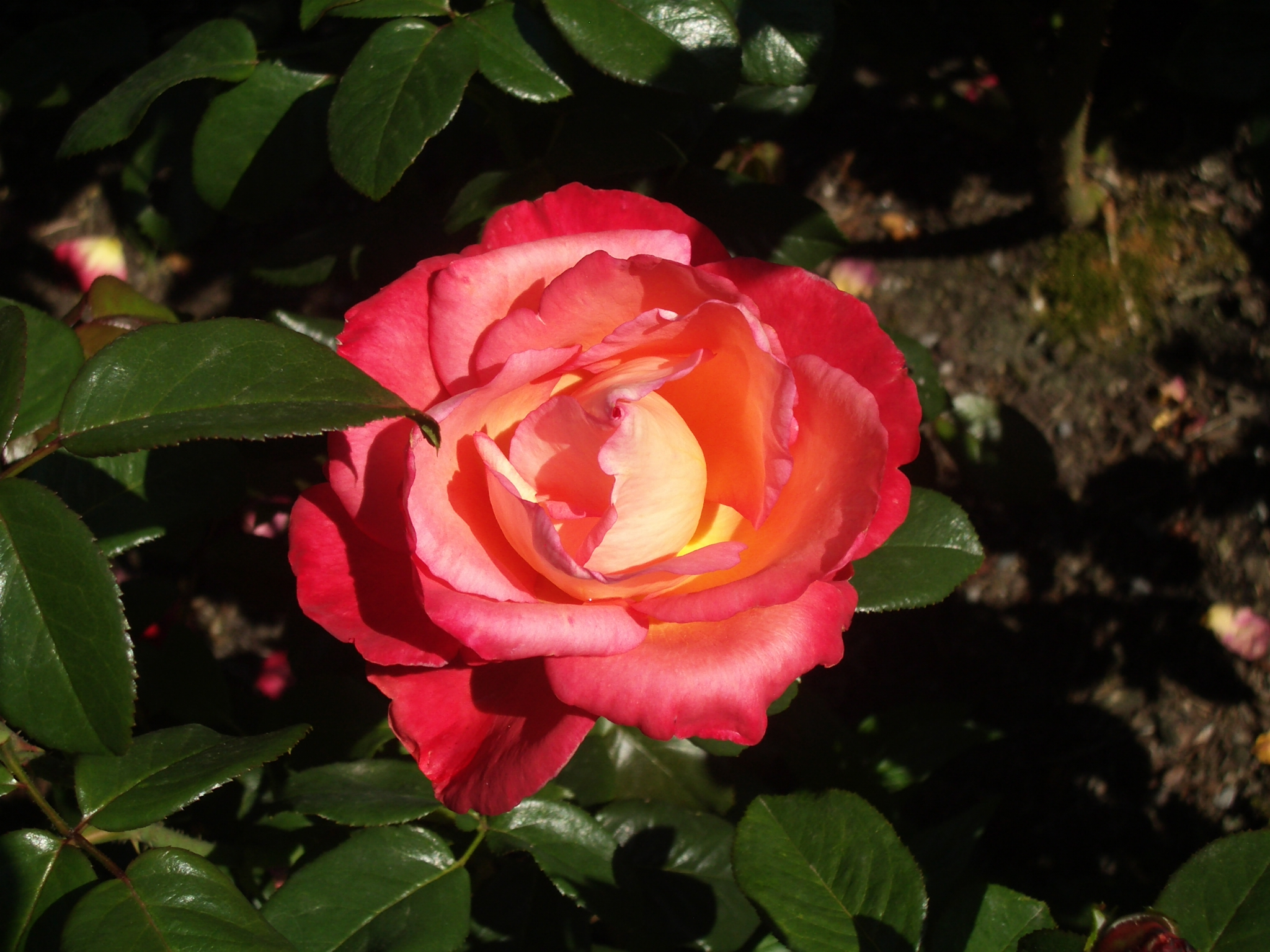 Y roses