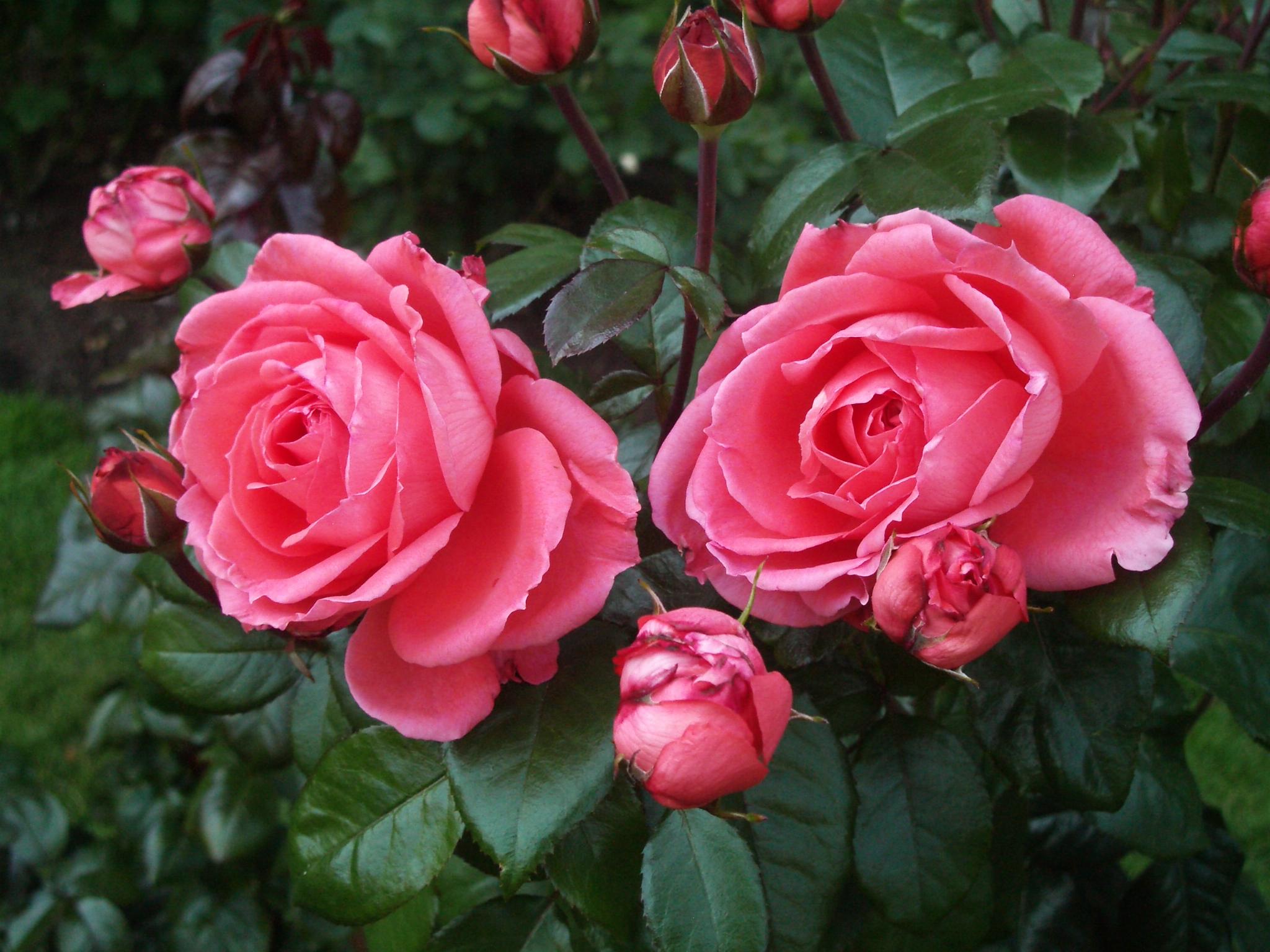 Y mas roses