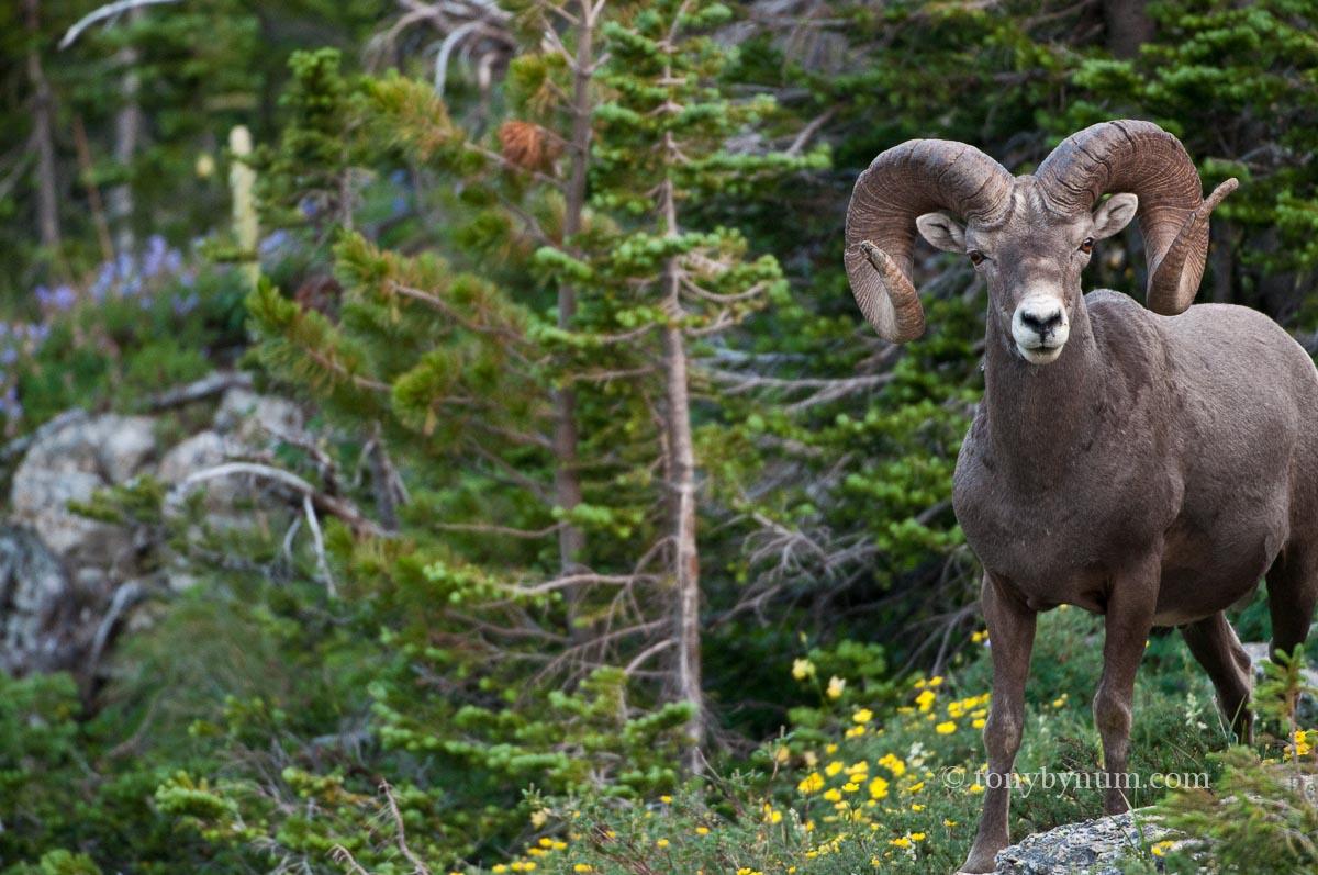 General Information — Bighorn Sheep Disease Research Consortium