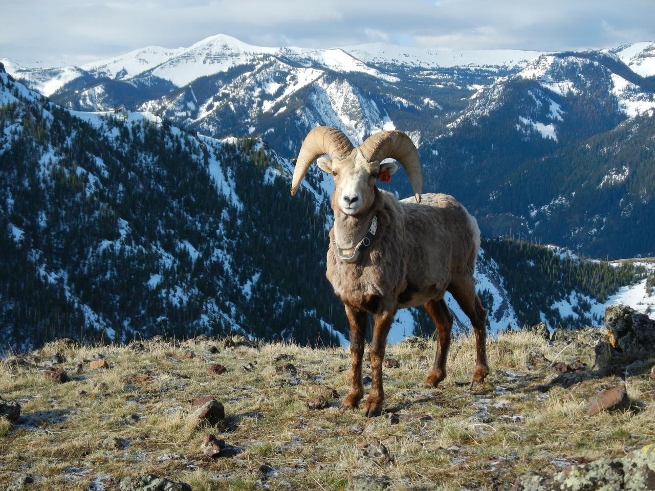 RKP bighorn sheep10.jpg