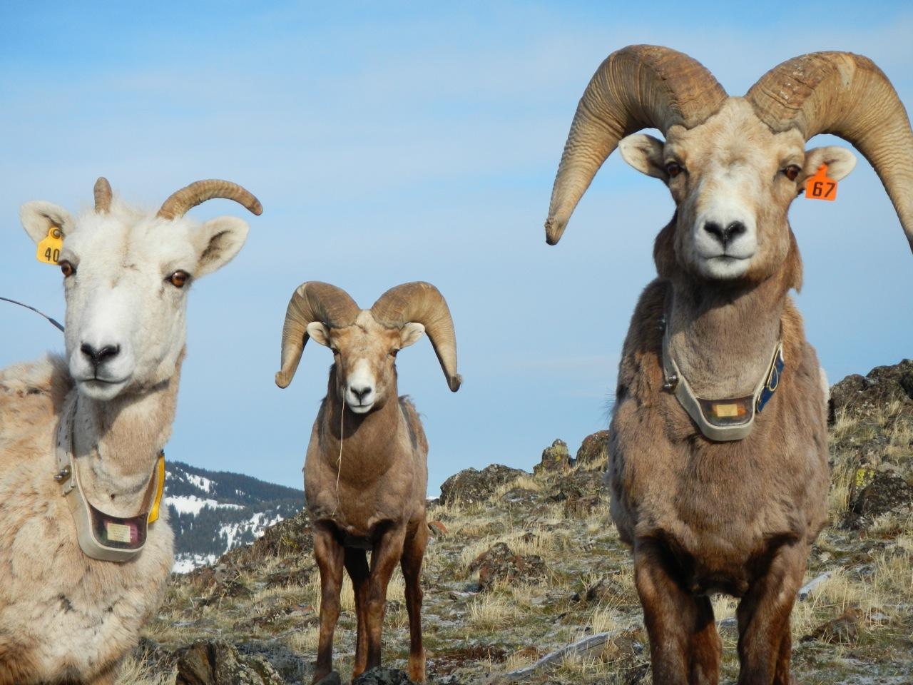 RKP bighorn sheep08.jpg
