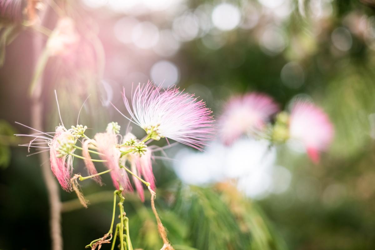 FloweringTree-1.JPG