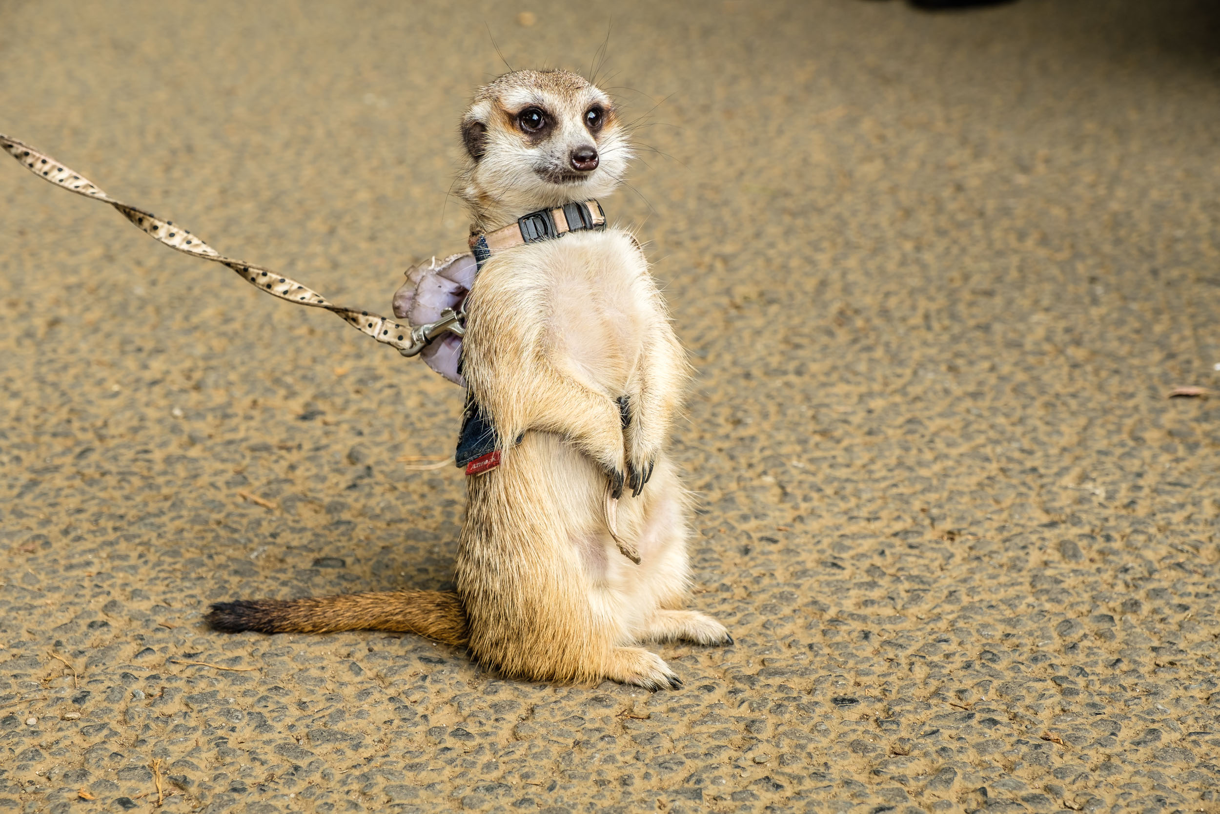 Meerkat in Yoyogi park which pulled a huge crowd of people