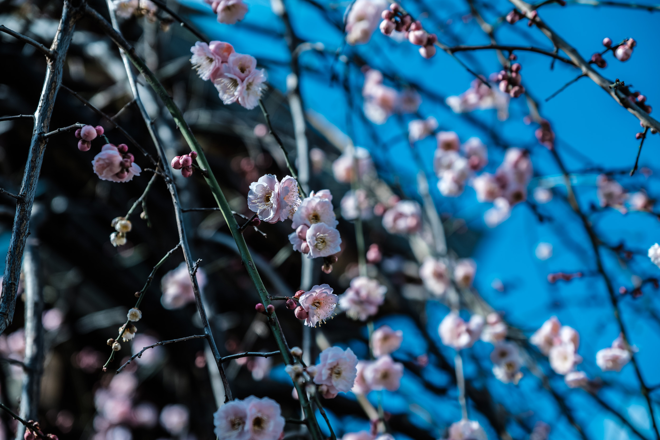 Some plum blossoms in bloom and some not even close