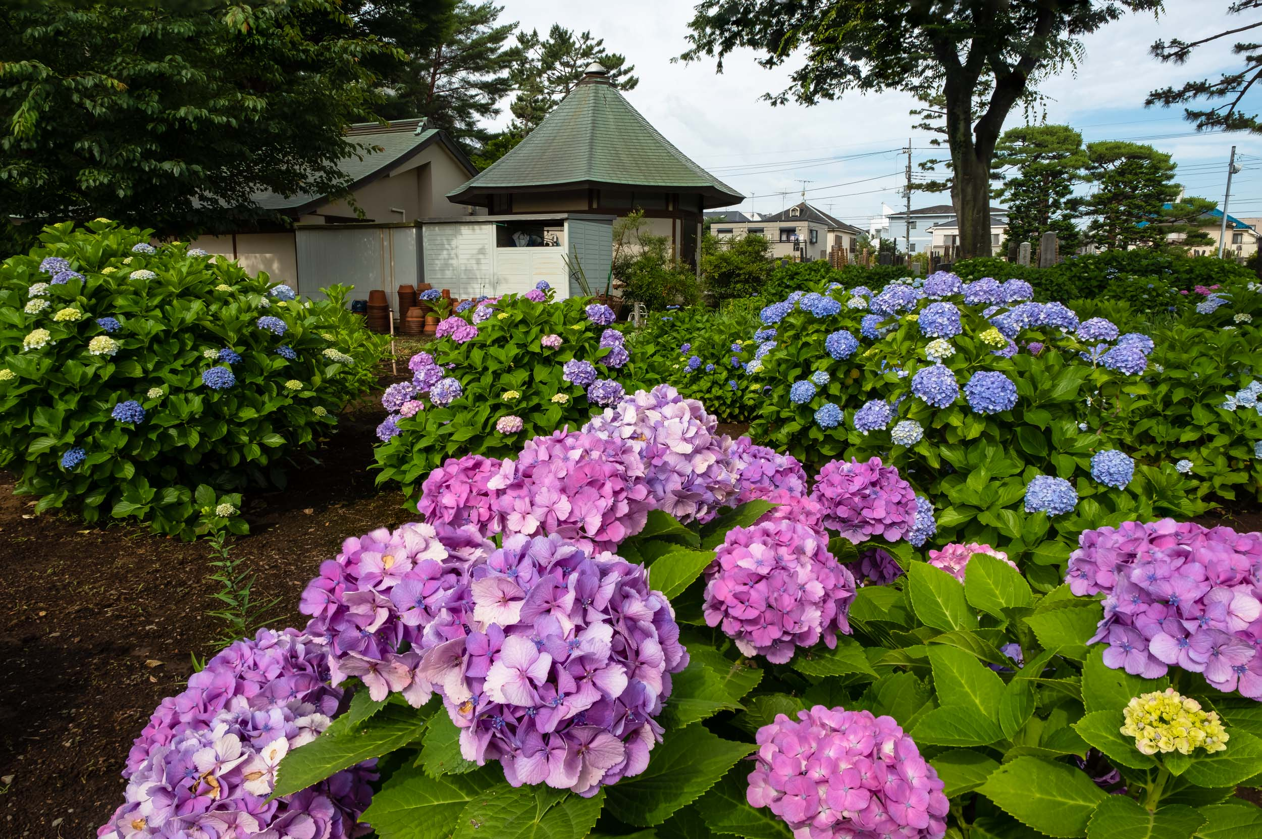 My first ever published shot using focus stac king  - a field of hydrangeas