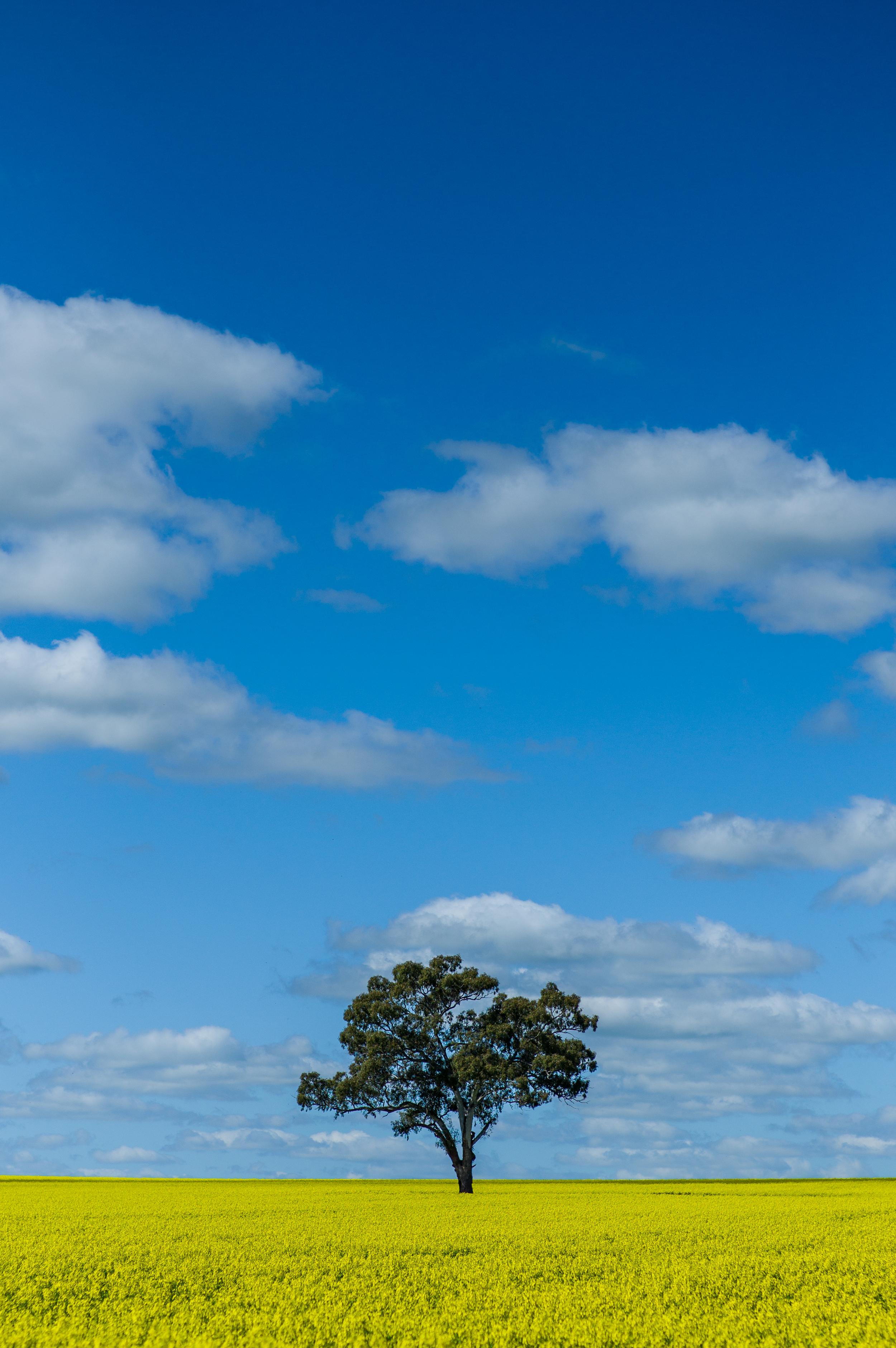 Lone Tree in a Field of Canola
