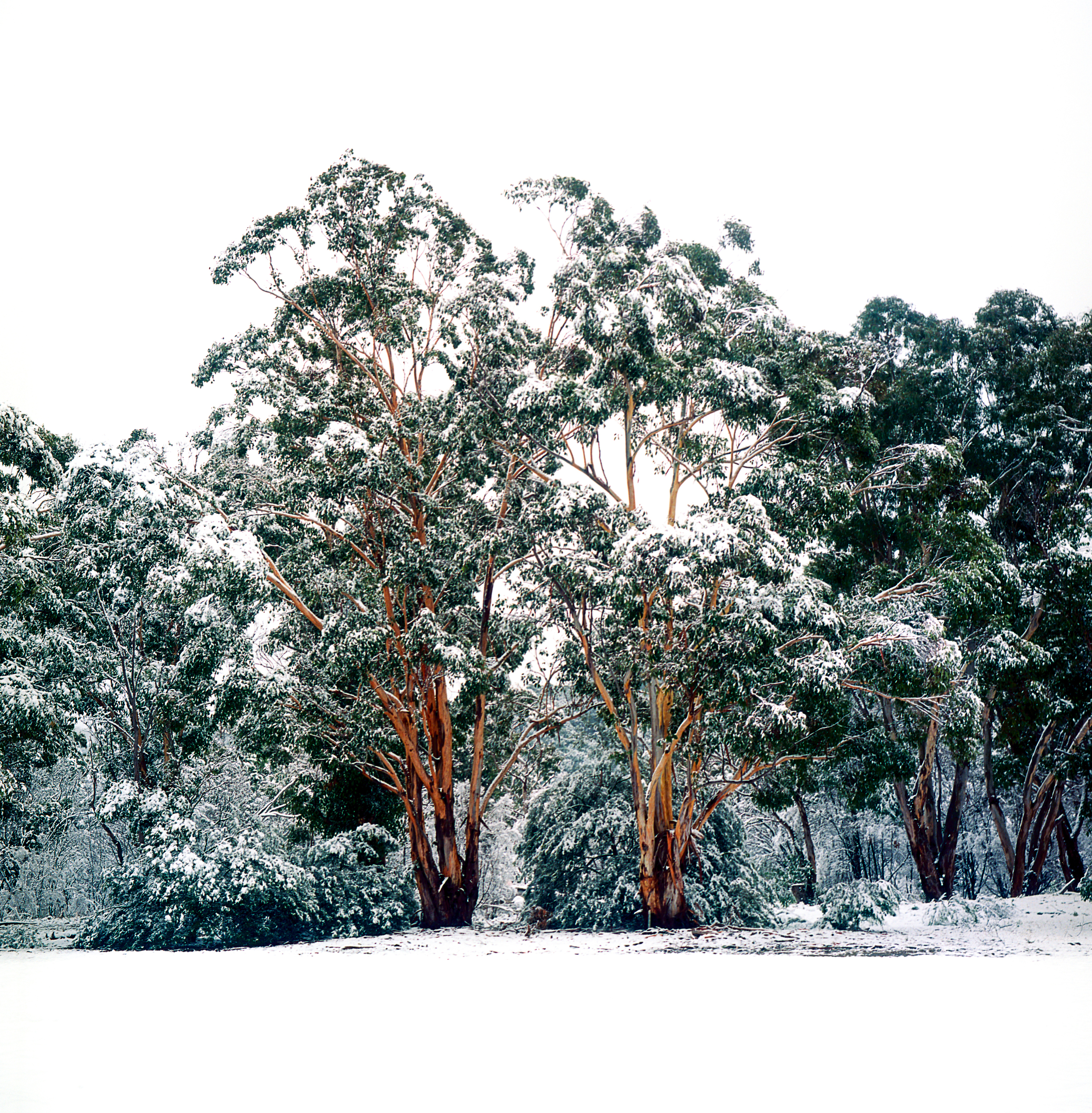Twin Gum Trees Covered in Snow
