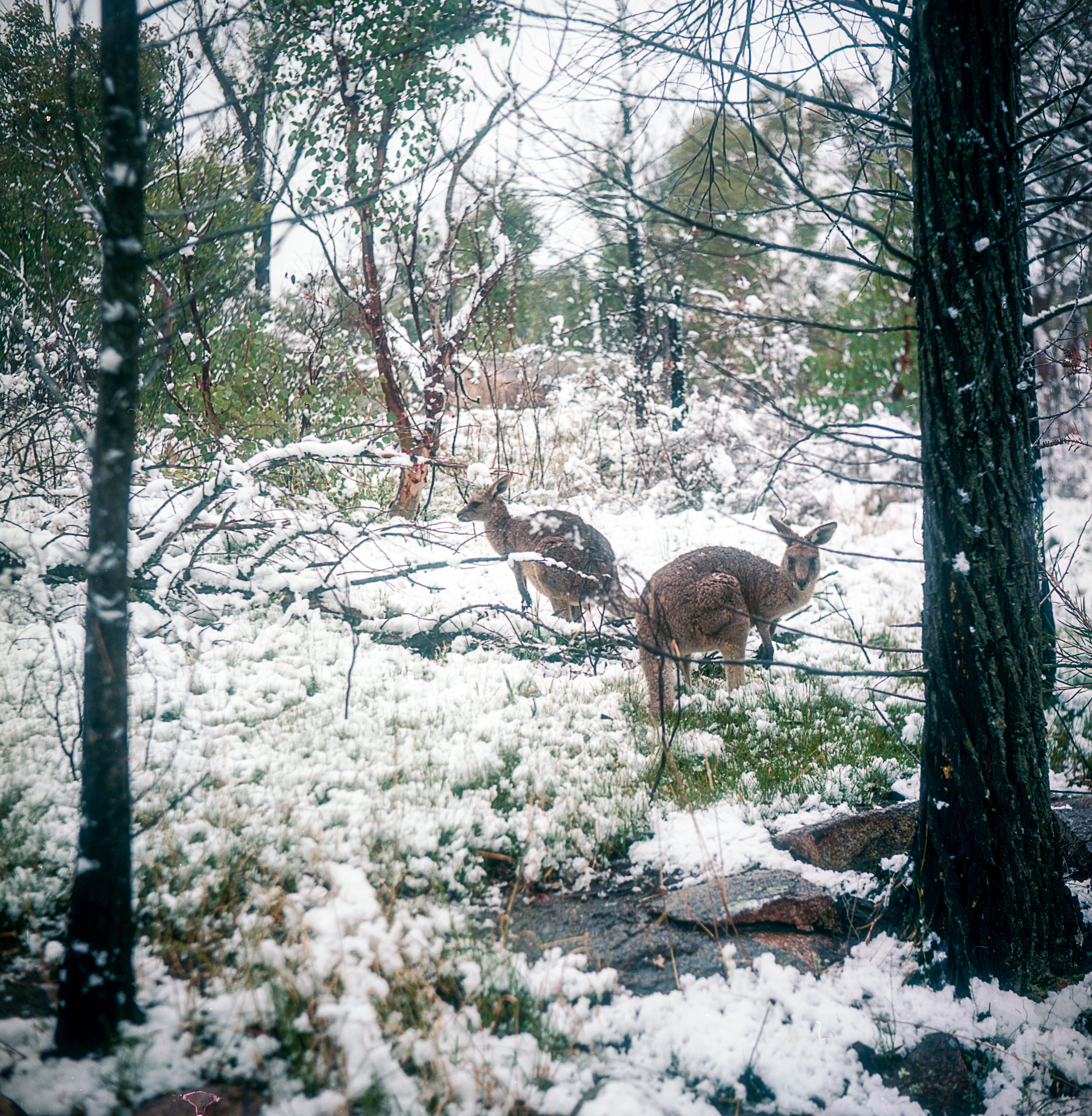 Wallabies in the Snow