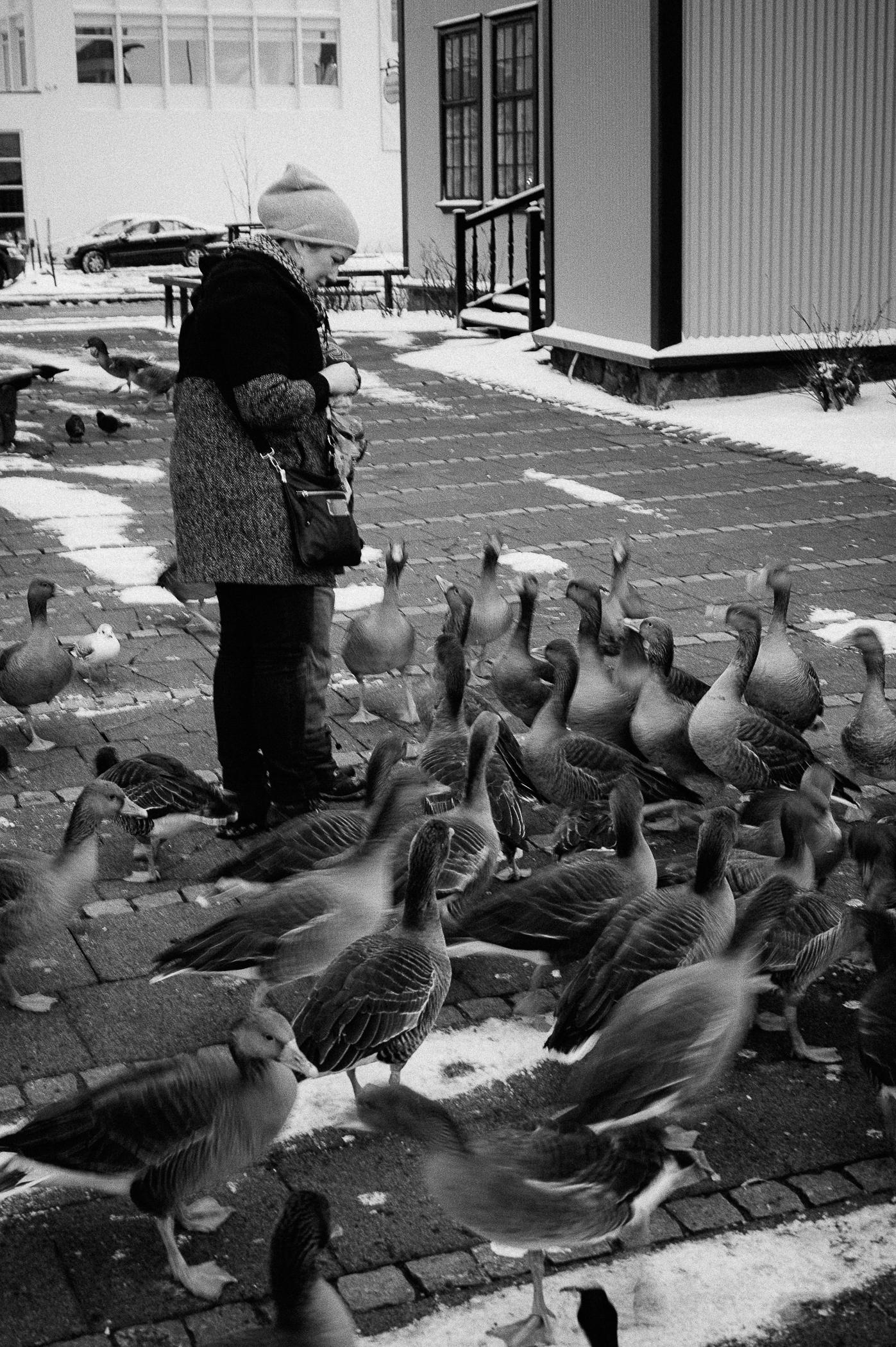 Arctic geese, ducks, & swans