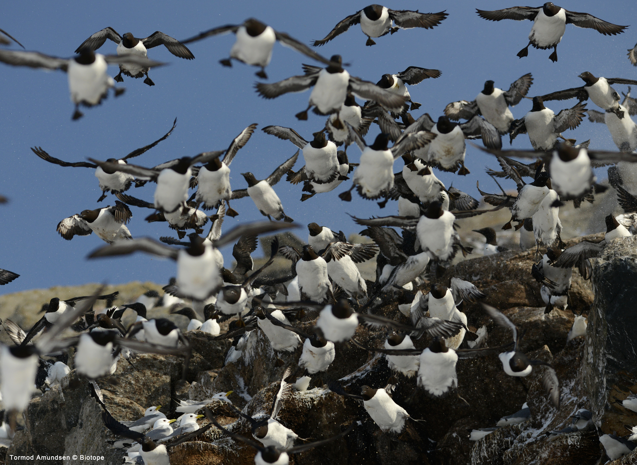Guillemot avalanche Hornøya bird cliff March 2014 Amundsen Biotope.jpg