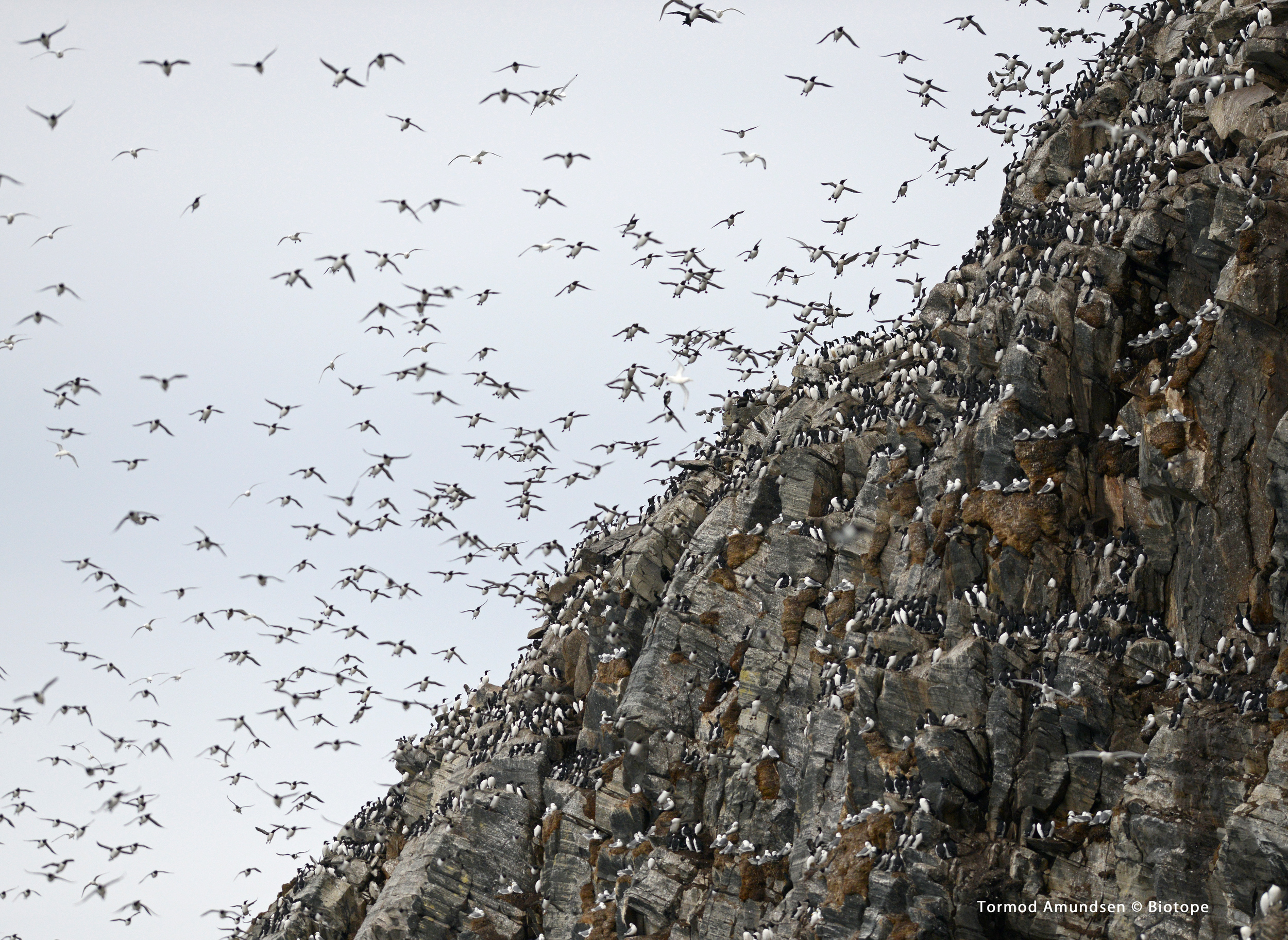 Hornøya incoming guillemots bird cliff march 2014 med res sign Amundsen Biotope.jpg