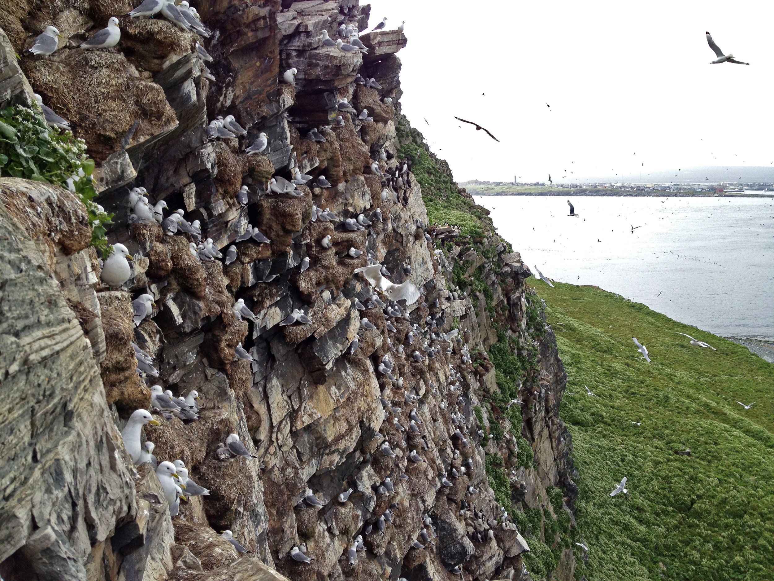 Hornoya bird cliff july 2012 scene iphone Biotope.jpg