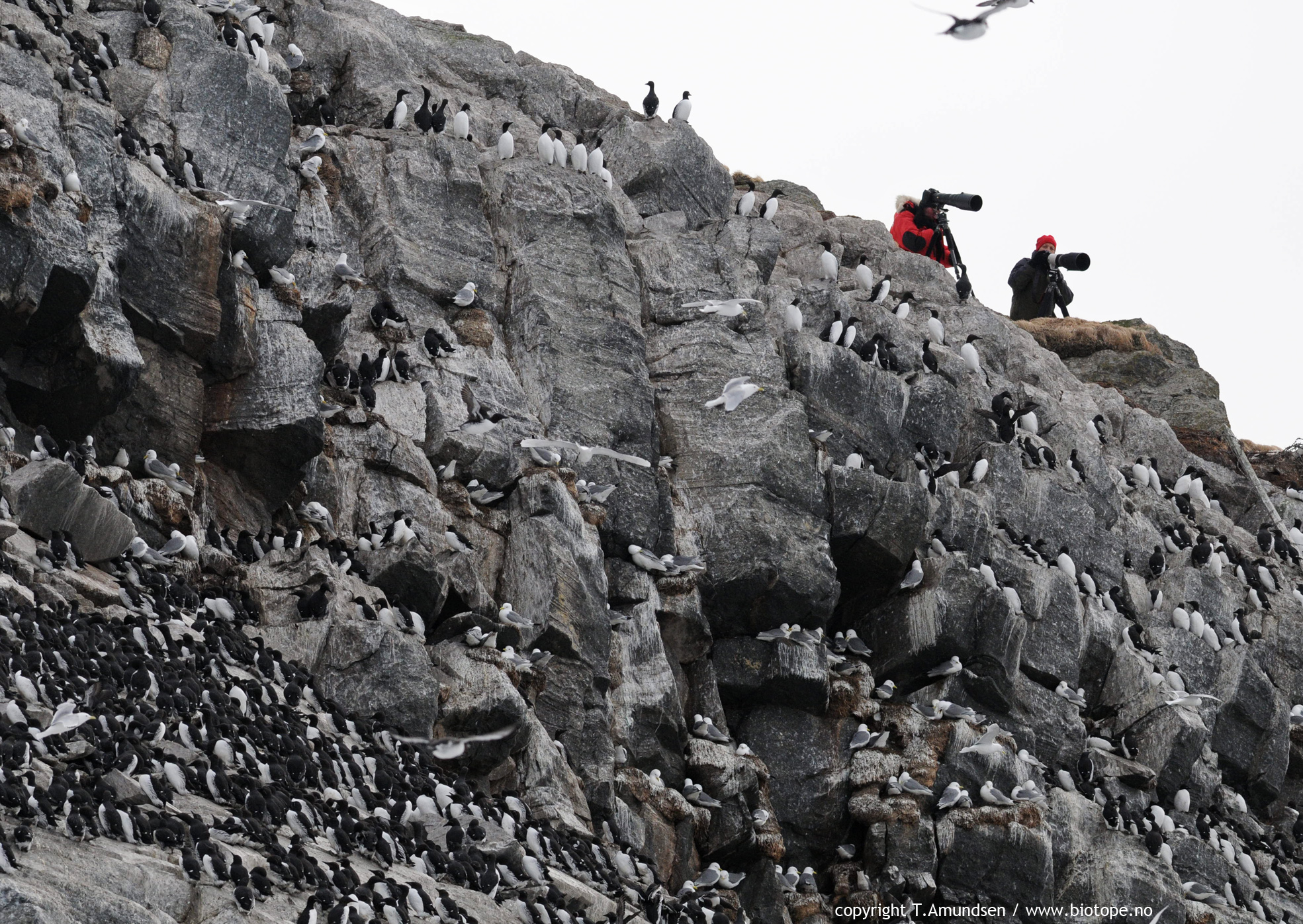 hornoya bird cliff mrch2011 TAmundsen Biotope .jpg