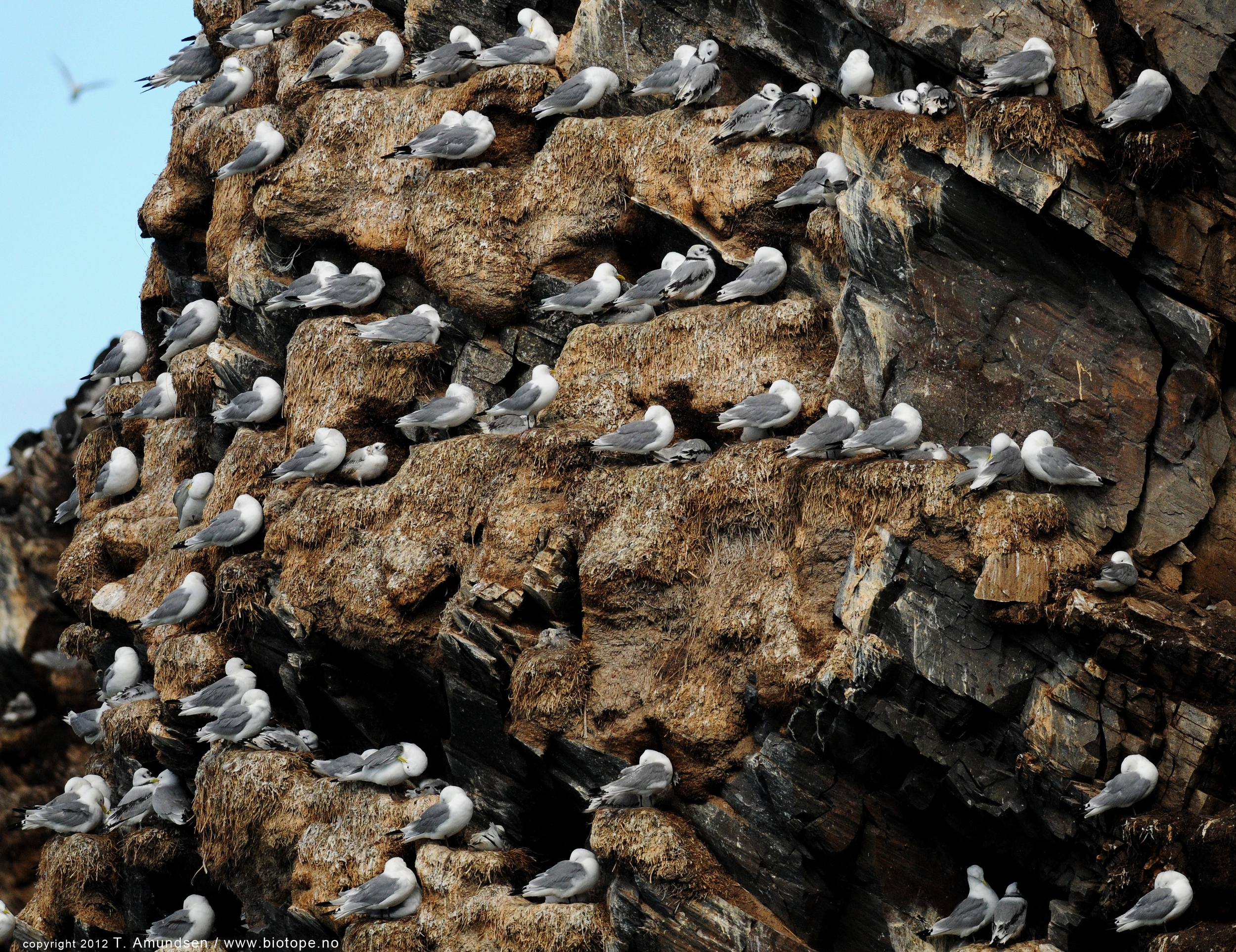 Kittiwake colony Hornoya bird cliff july 2012 Biotope.jpg