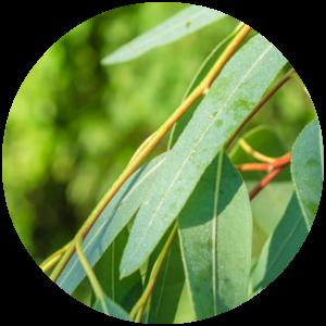 Citrefine Citriodiol Eucalyptus Citriodora leaf