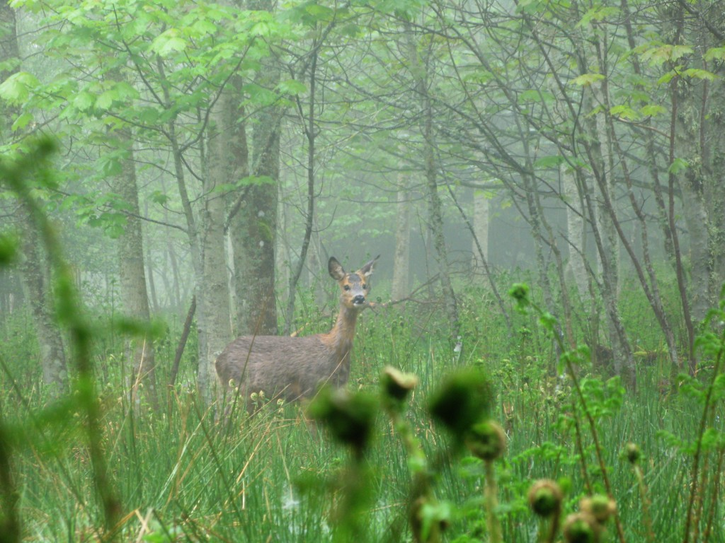 Female Roe Deer