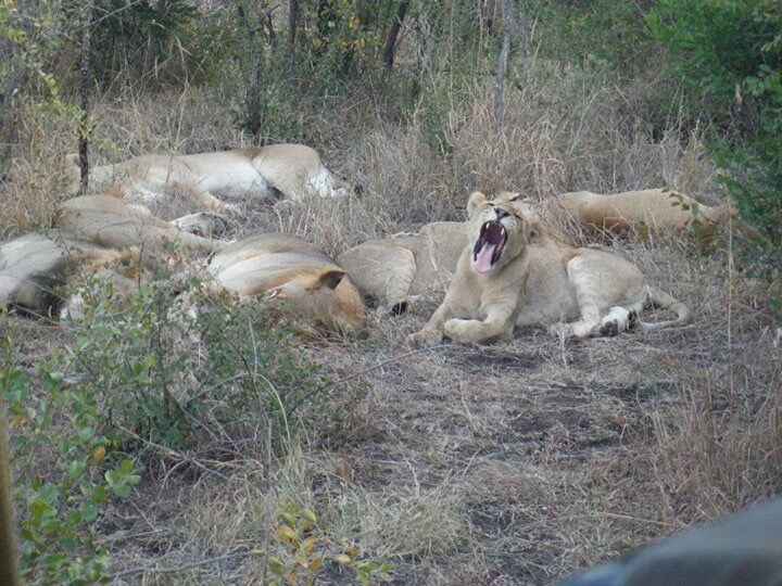 Lions during safari at kruger national park