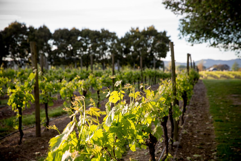 grapevines-marlborough-lodge-morning.jpg
