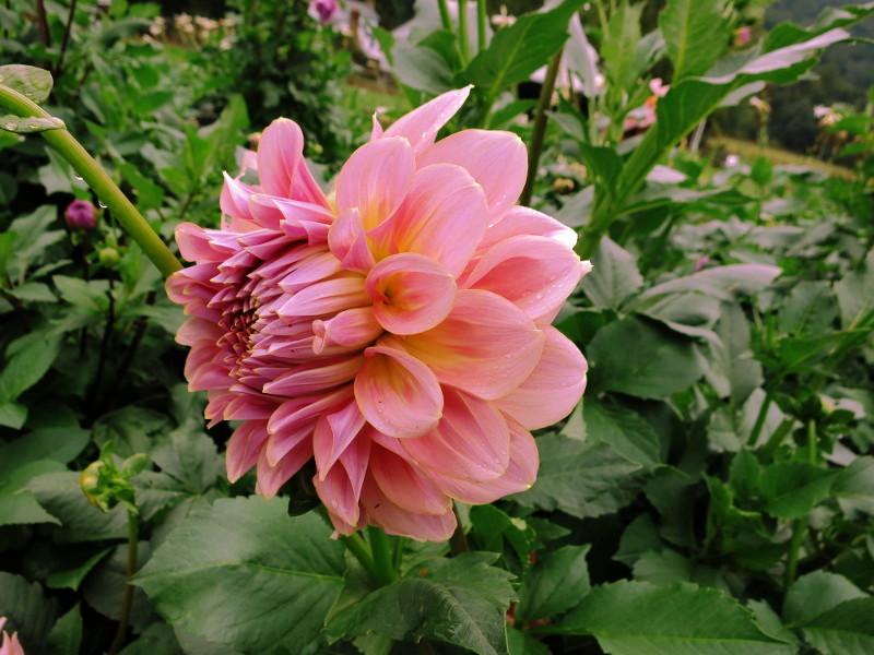 Dahlia Robin Ayers Garden.JPG