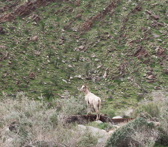 anza-borrego-palm-canyon-hike-big-horn-sheep